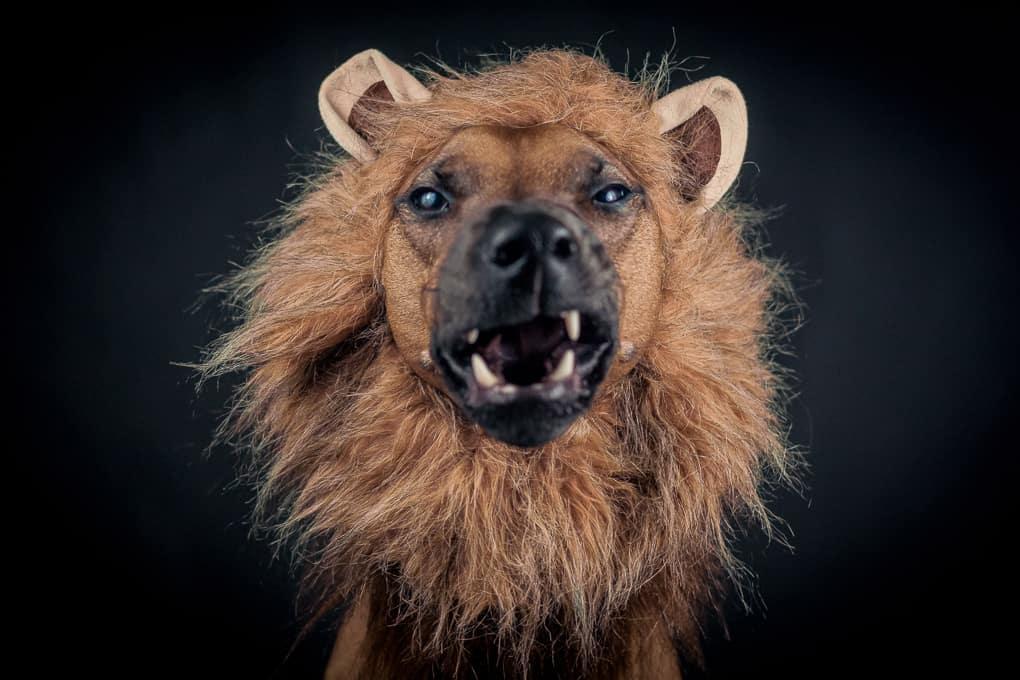 Rhodesian Ridgeback, Lion, Marking Our Territory