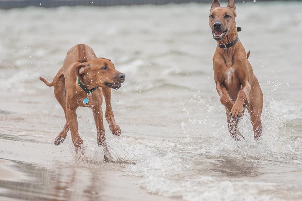 Rhodesian Ridgeback, montrose dog beach, chicago, marking our territory, puppy