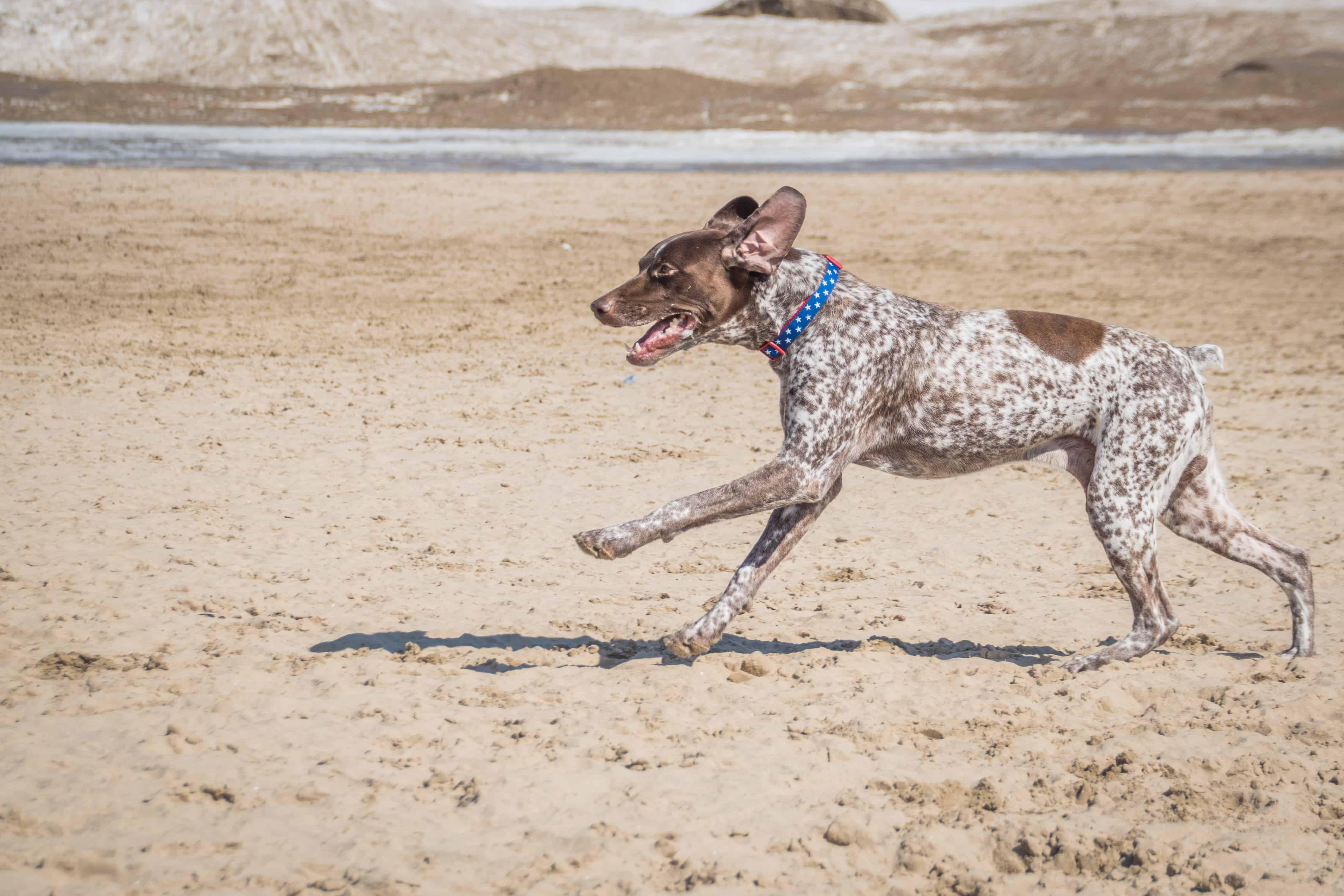 Montrose Dog Beach, Chicago, blog,  marking our territory, rhodesian ridgeback