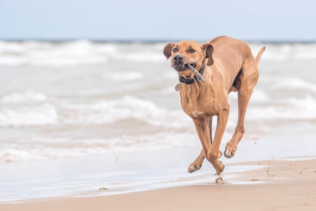 Rhodesian RIdgeback, blog, chicago, montrose dog beach, adventure