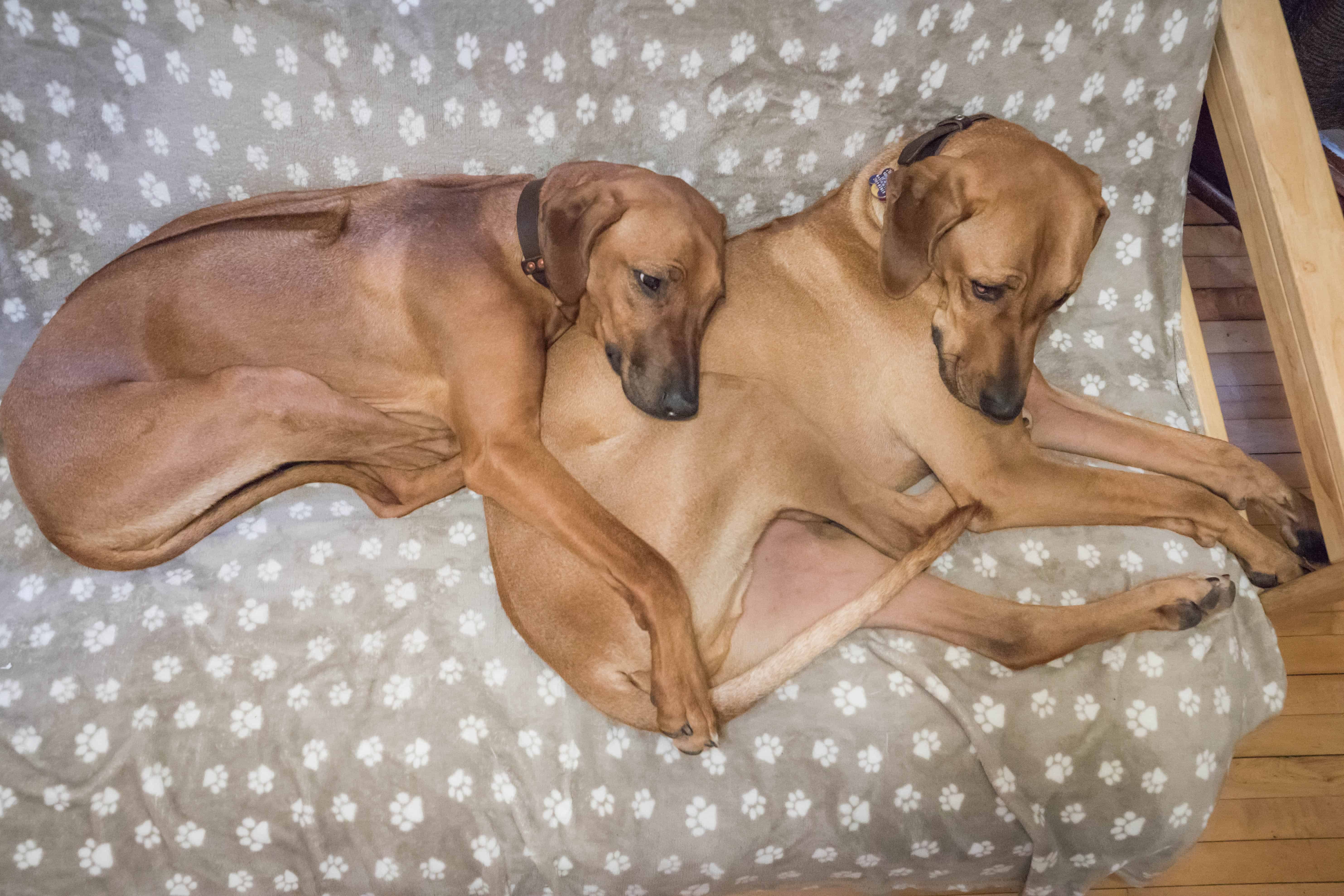 Rhodesian Ridgeback, puppy, chicago, marking our territory, funny