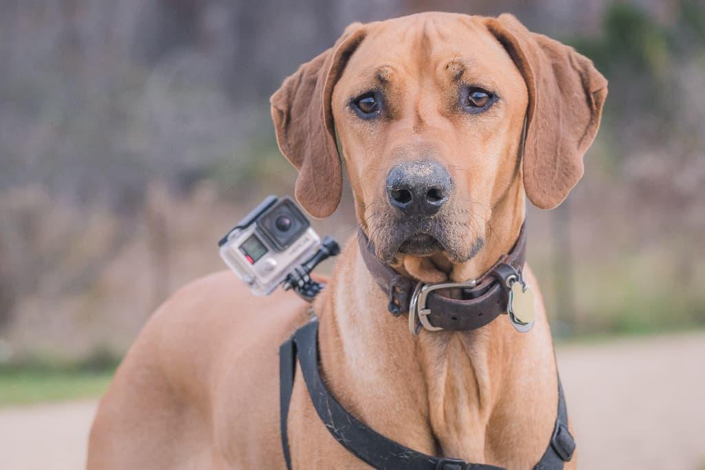 Rhodesian Ridgeback, gopro, adventure, montrose dog beach, chicago, blog