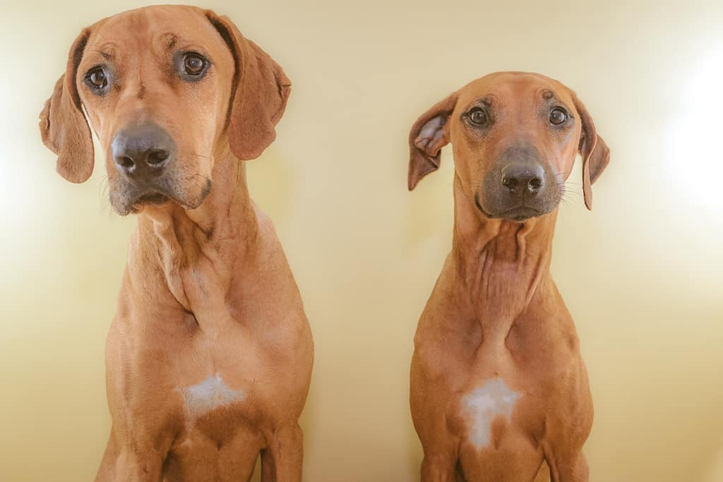 Rhodesian Ridgeback, blog, puppy, cute, chicago