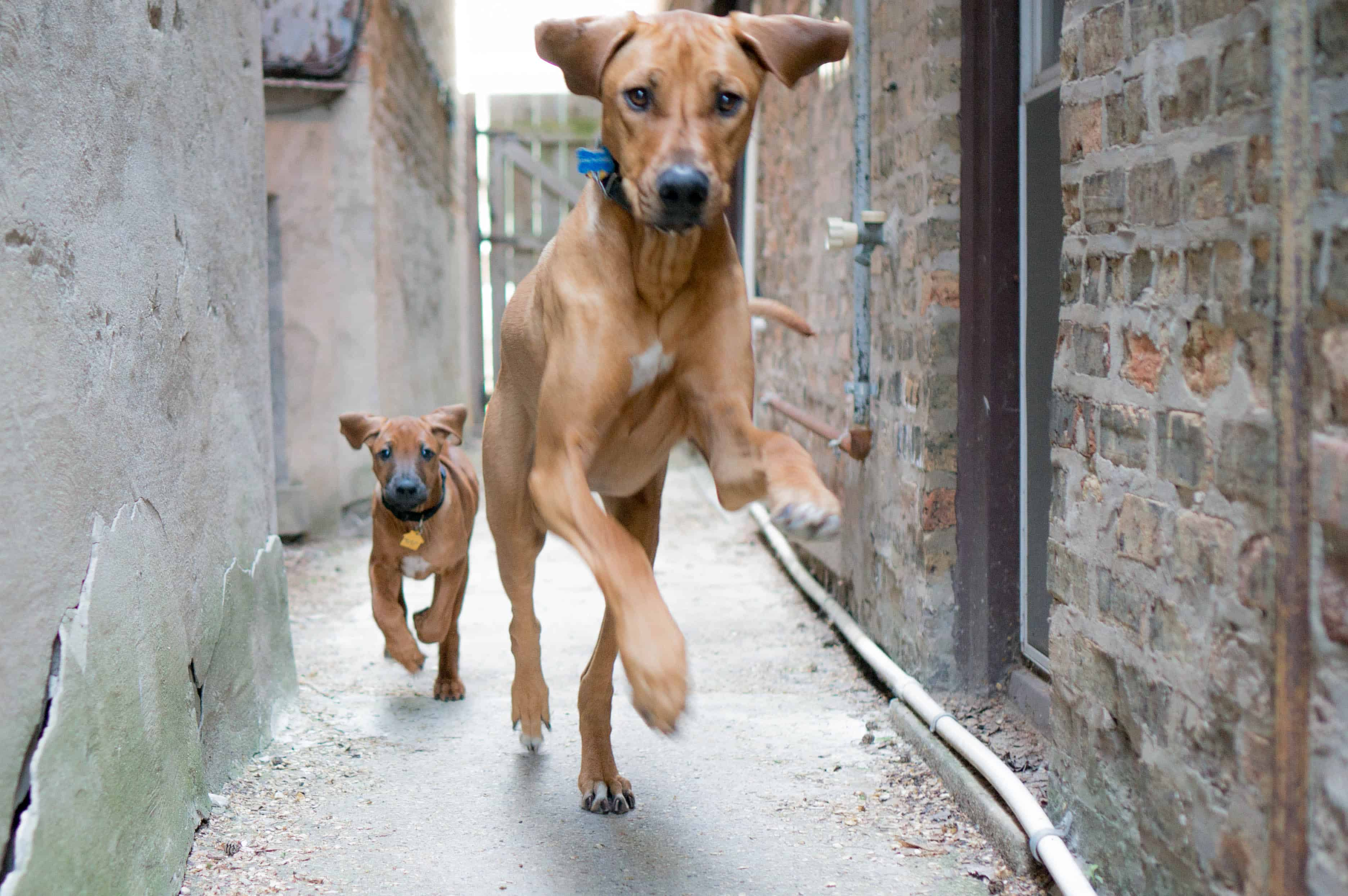 Rhodesian Ridgeback, puppy, marking our territory, chicago, adventure, training