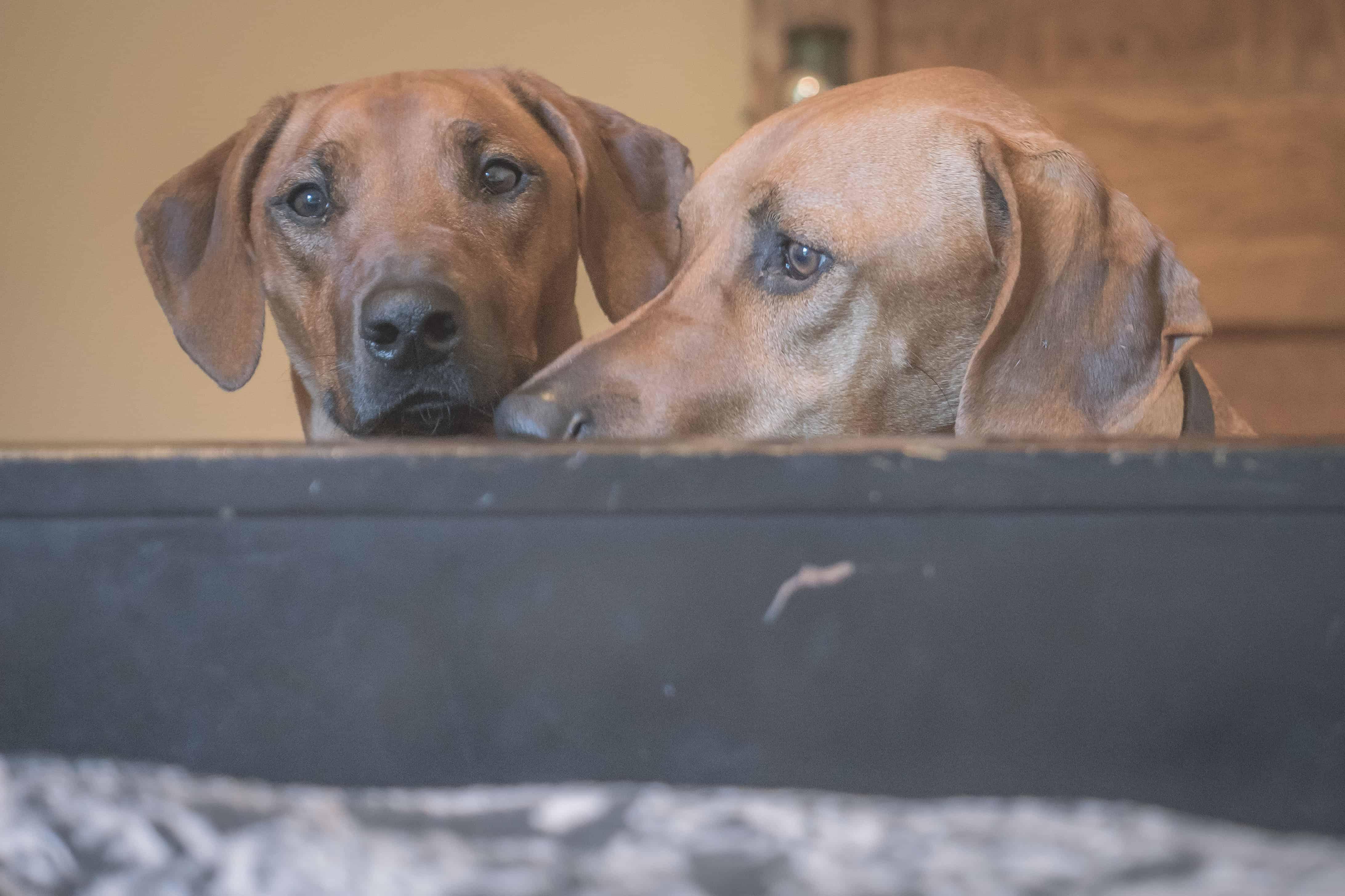 Rhodesian Ridgeback, puppy, chicago, cute, dog bed