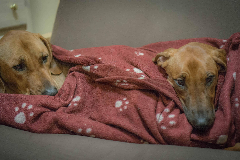 Rhodesian Ridgeback, puppy, blanket, cute, sleep, chicago
