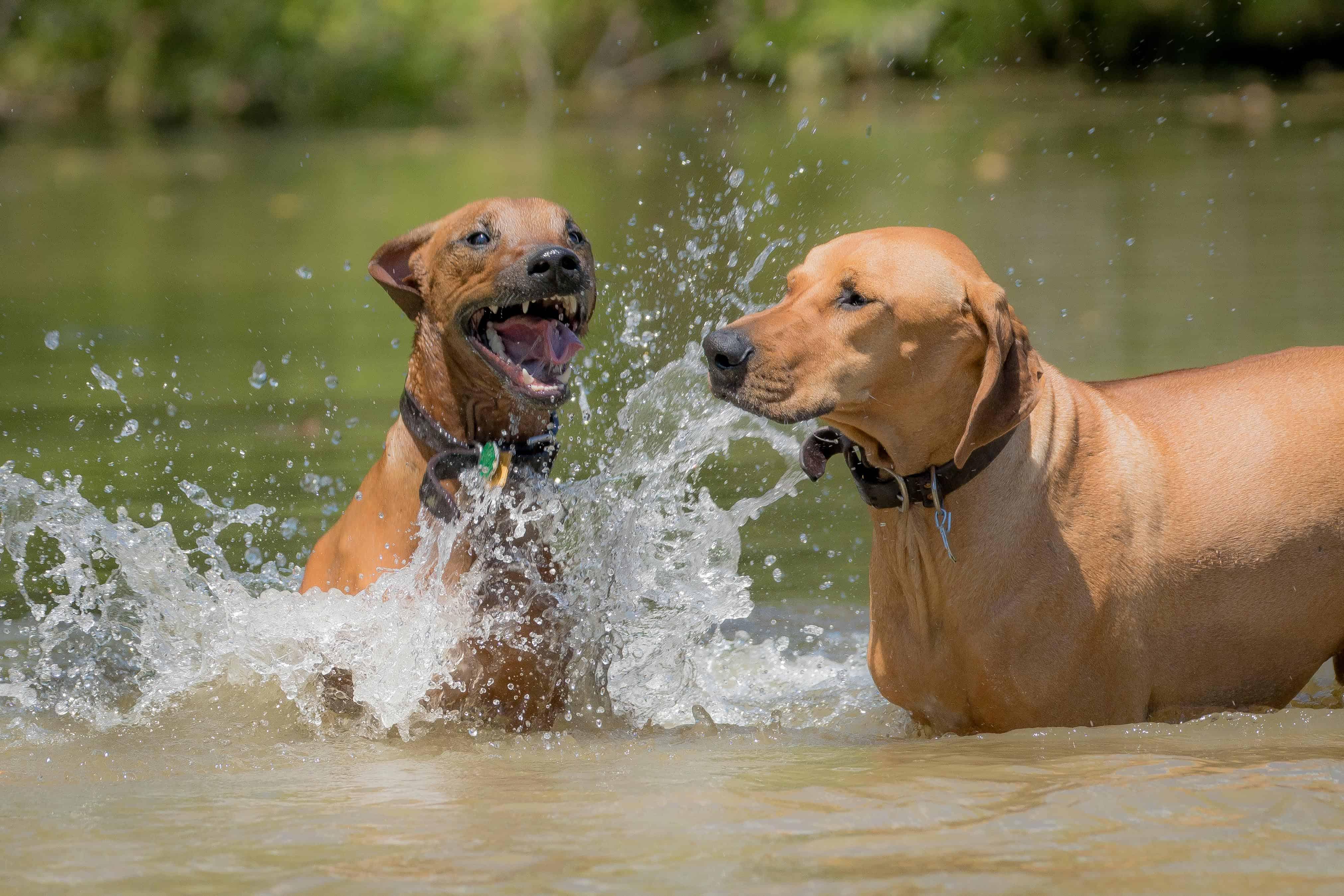 Rhodesian RIdgeback, chicago, puppy, adventure, dog park