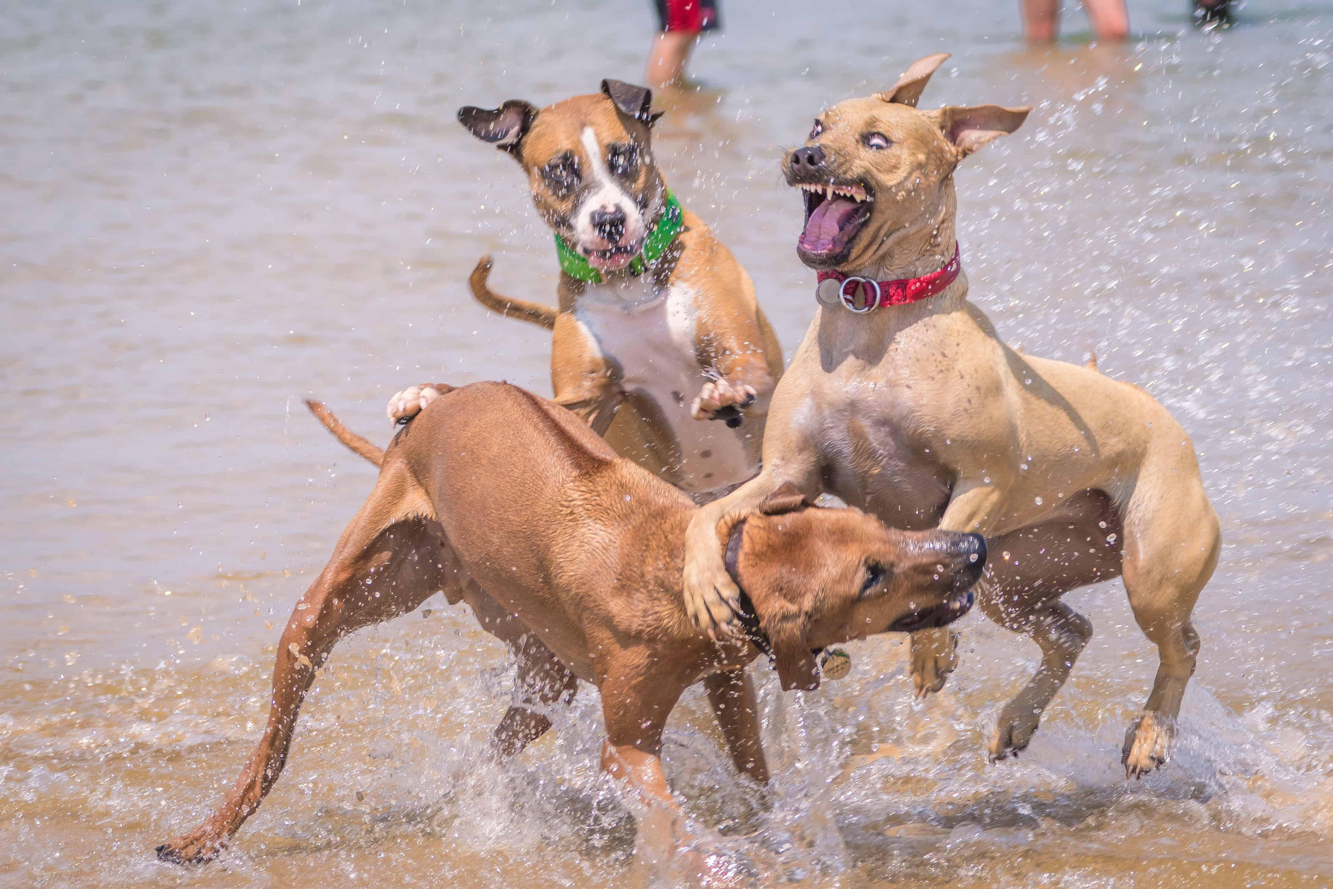 Rhodesian Ridgeback, puppy, chicago, cute, montrose dog beach