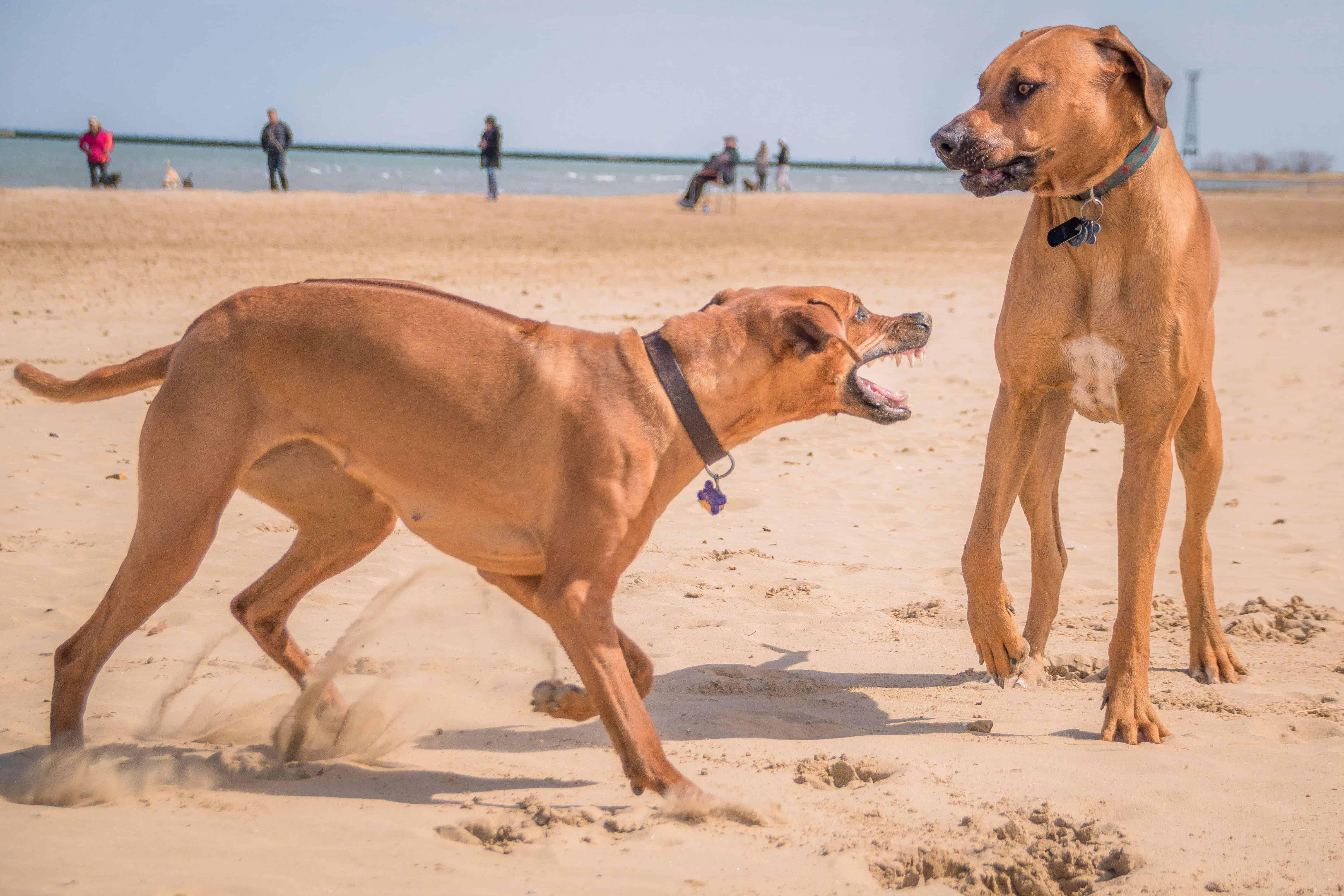 Rhodesian Ridgeback, puppy, chicago, marking our territory