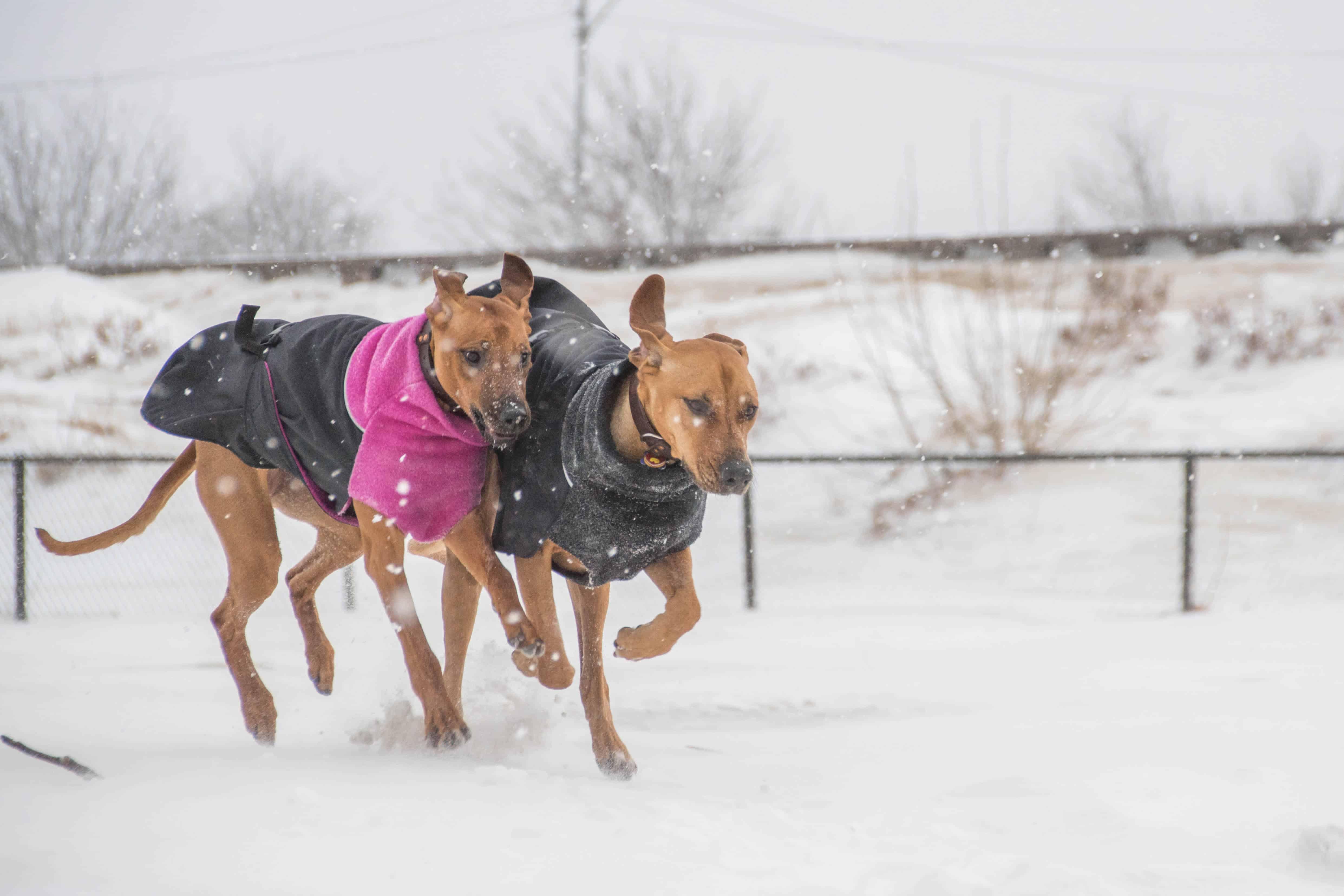 Rhodesian Ridgeback, puppy, chicago, adventure, marking our territory, montrose dog beach