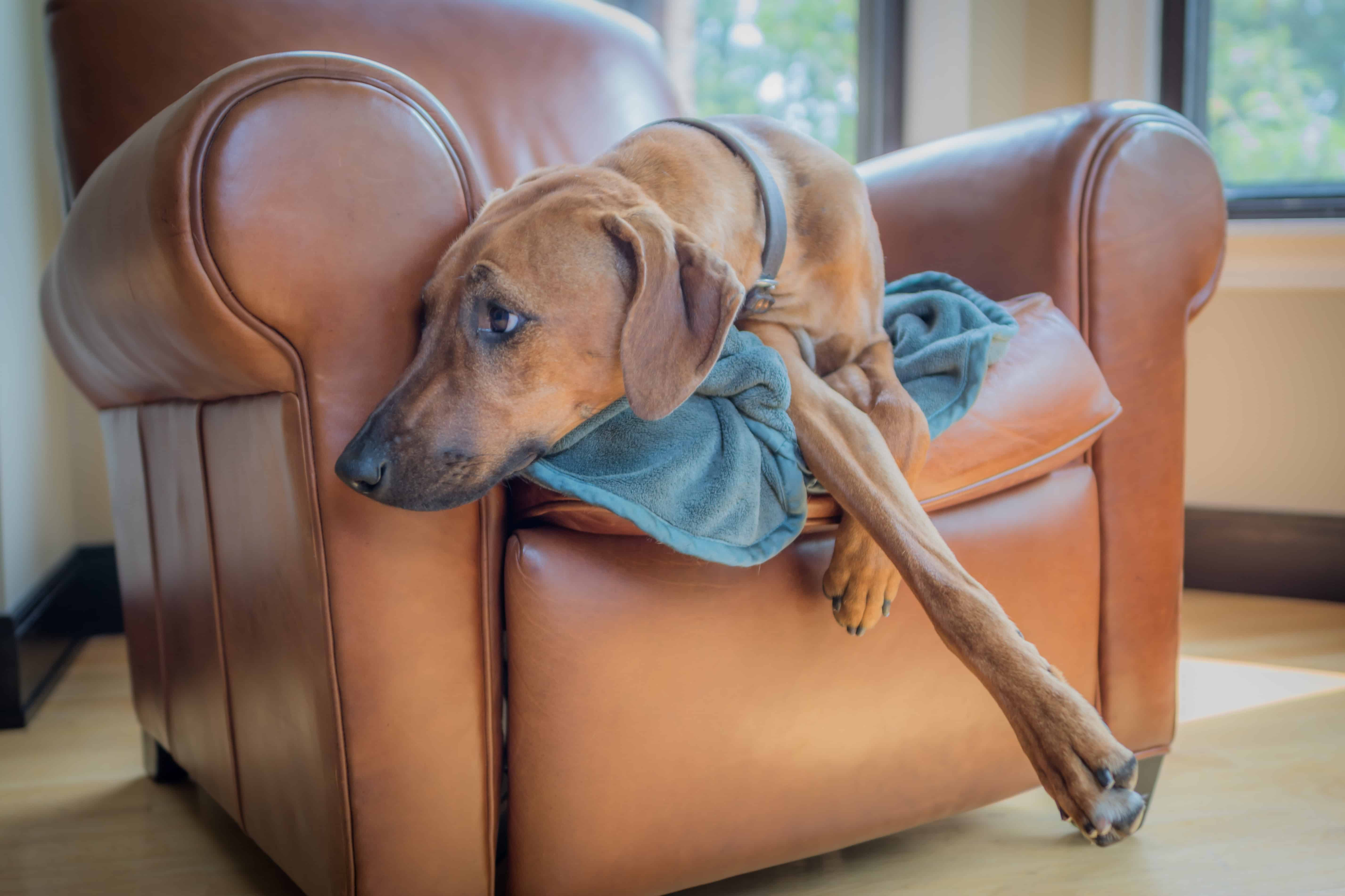 Rhodesian Ridgeback, chicago, puppy, cute, couch, sleep