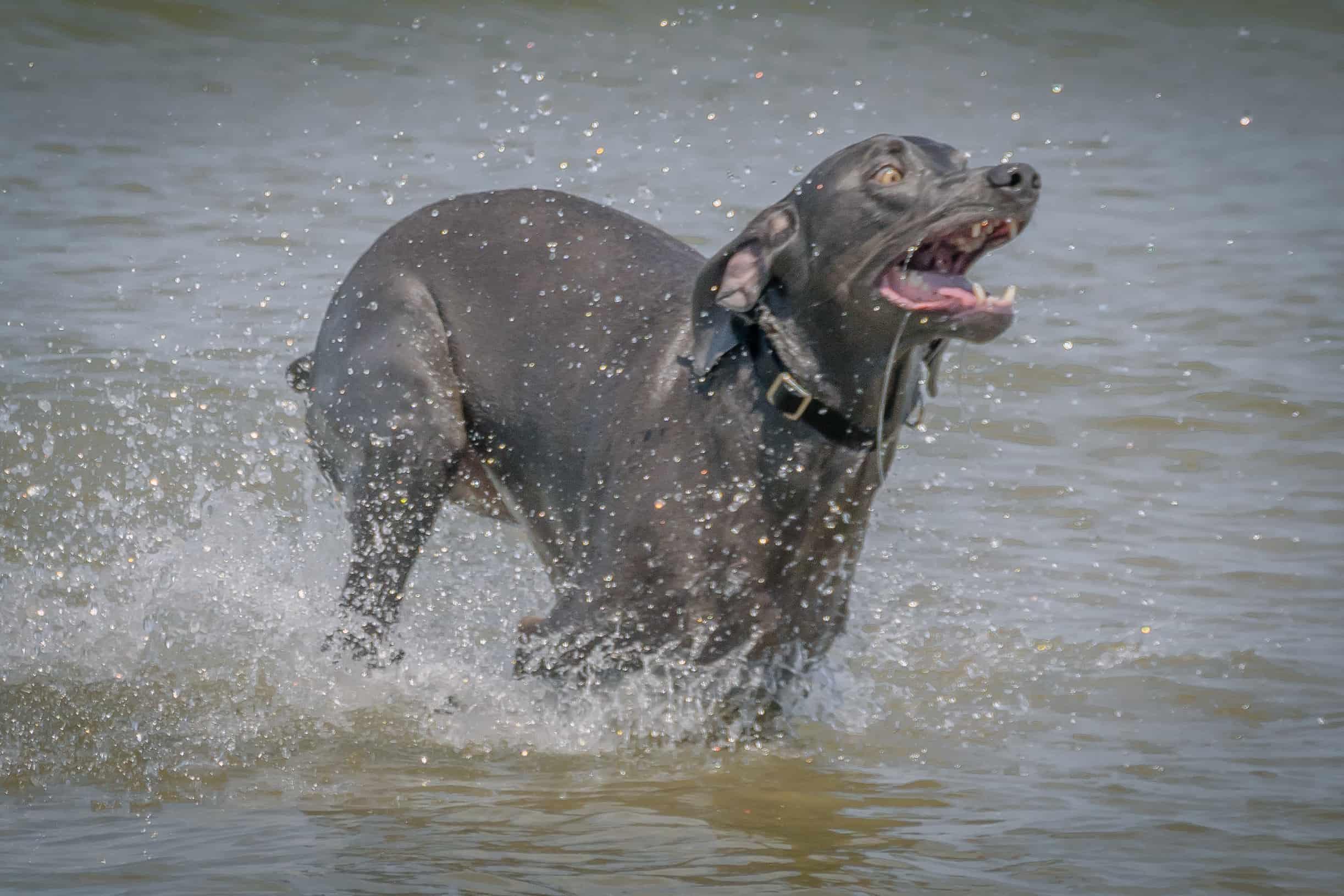 Rhodesian Ridgeback, puppy, chicago, dogs, montrose dog beach, adventure