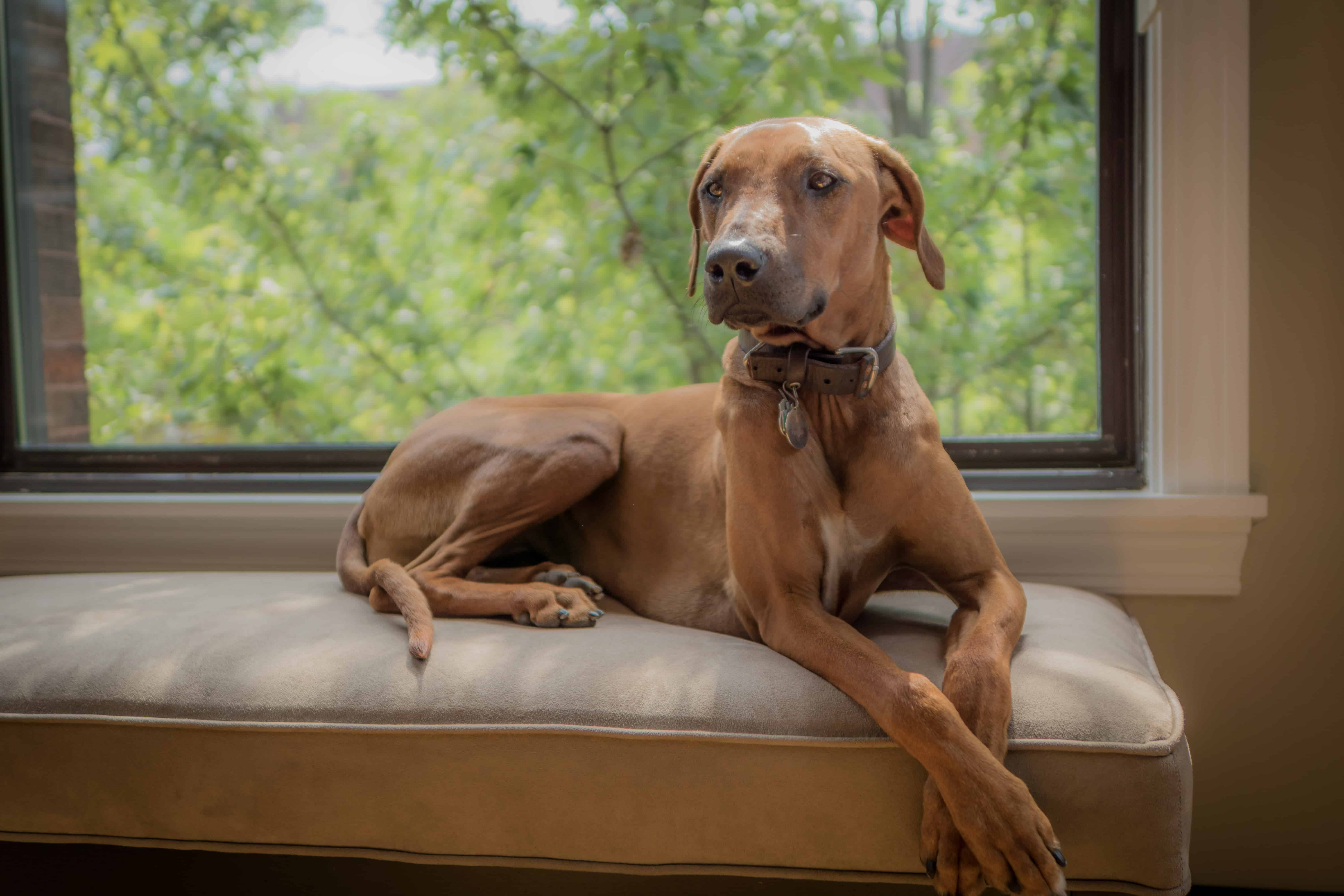 Rhodesian Ridgeback, chicago, cute, blog, adventure