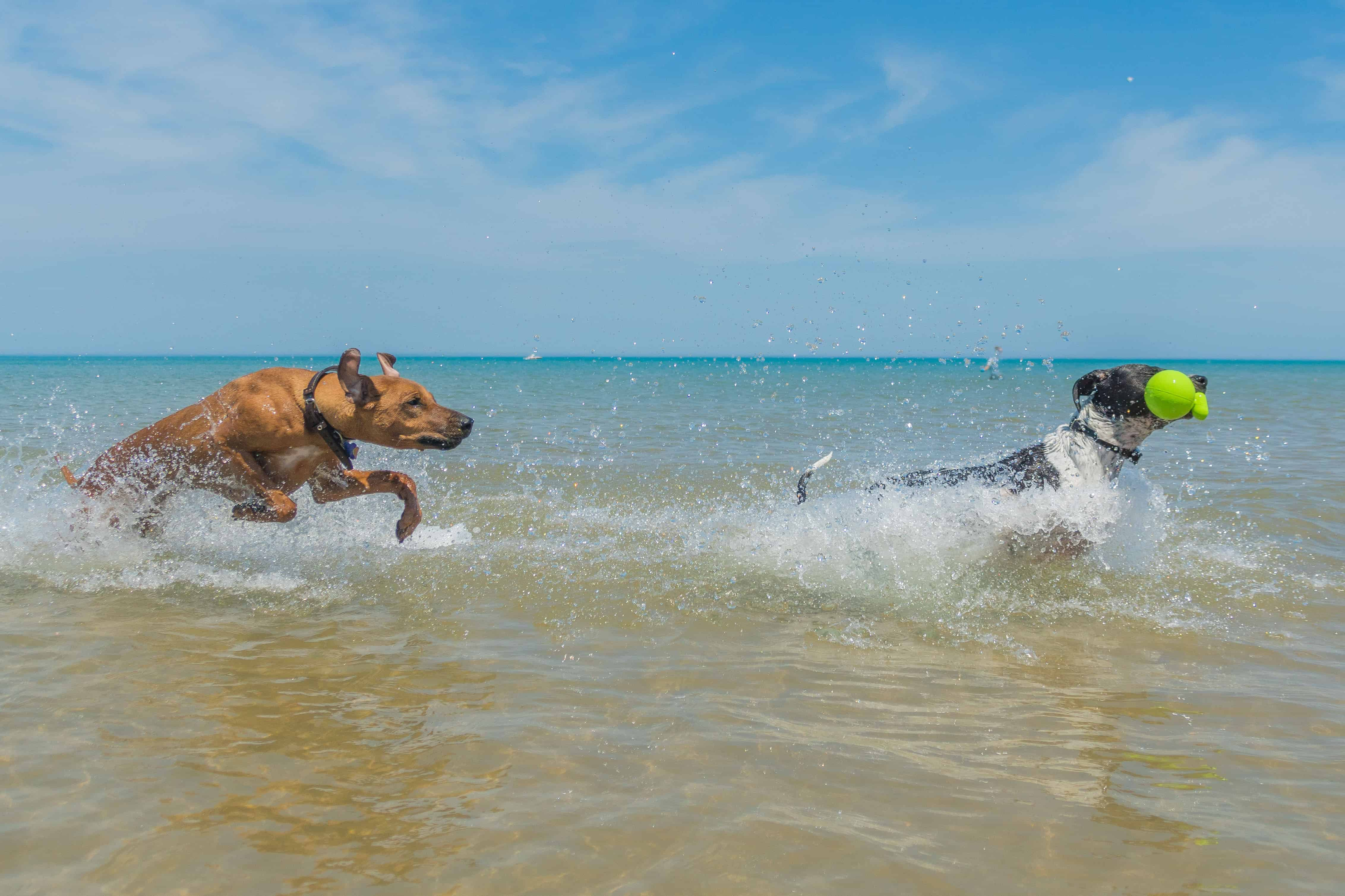 Rhodesian Ridgeback, puppy, chicago, montrose dog beach, chicago, adventure
