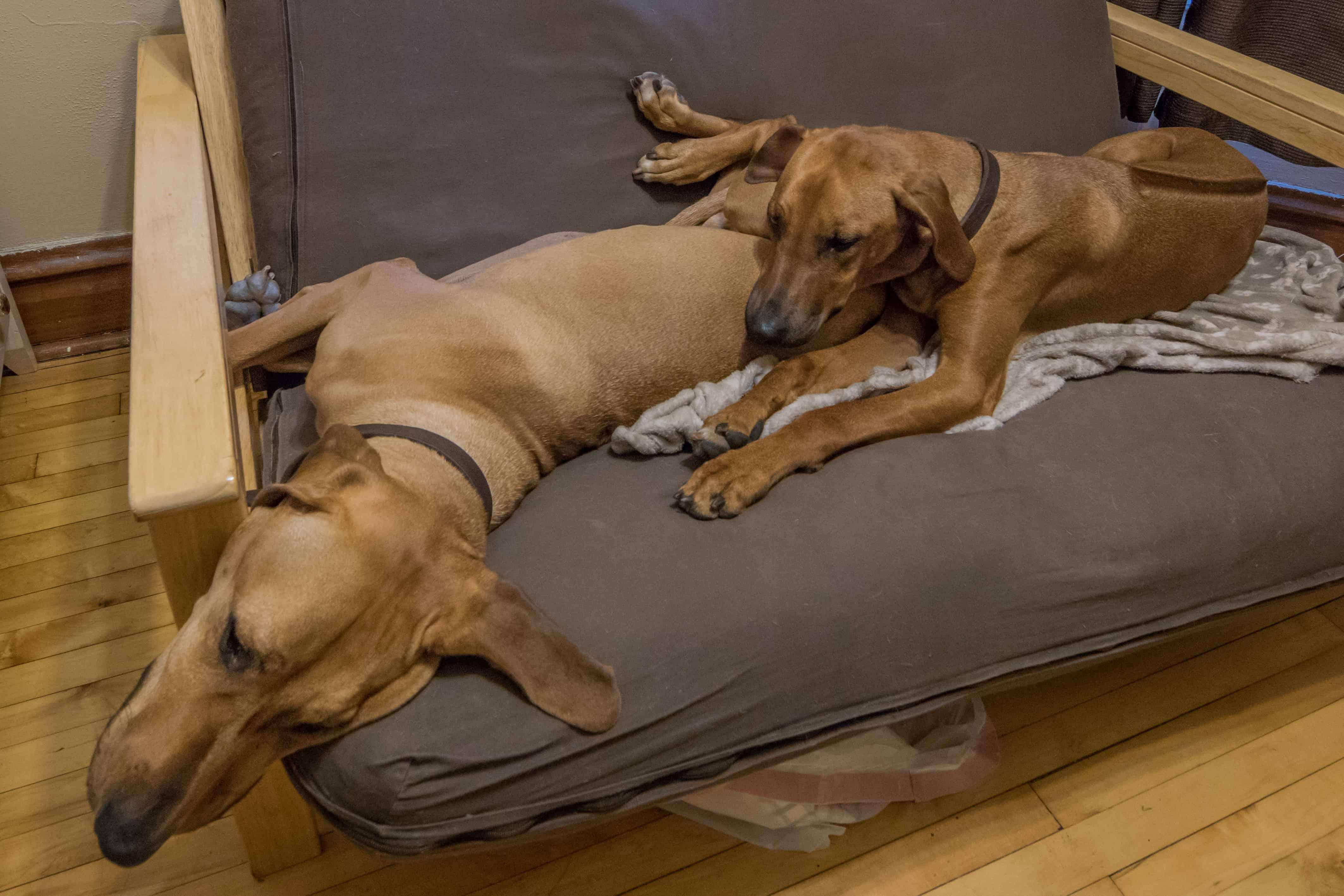 Rhodesian Ridgeback, puppy, chicago, dogs, cute