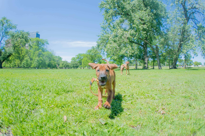 Rhodesian Ridgeback, puppy, marking our territory, chicago, adventure