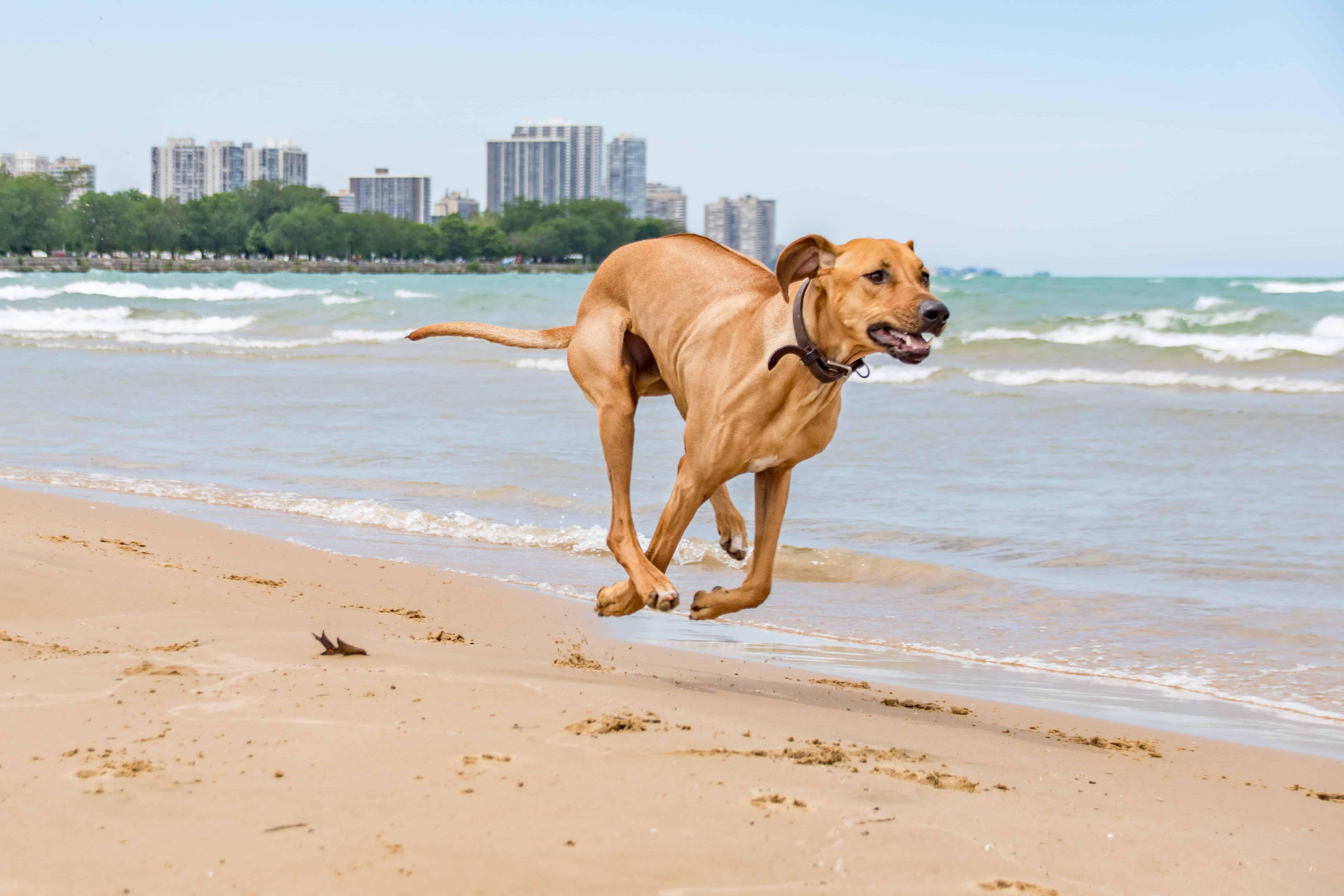 Rhodesian Ridgeback, chicago, puppy, smile