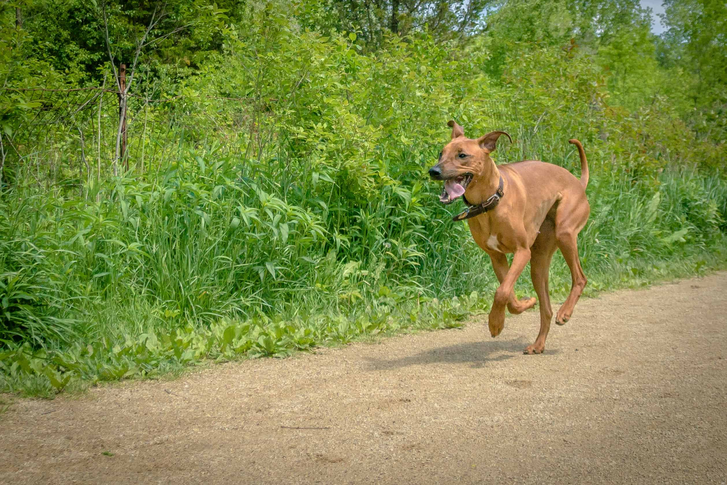 Rhodesian Ridgeback, puppy, cute, chicago, adventure