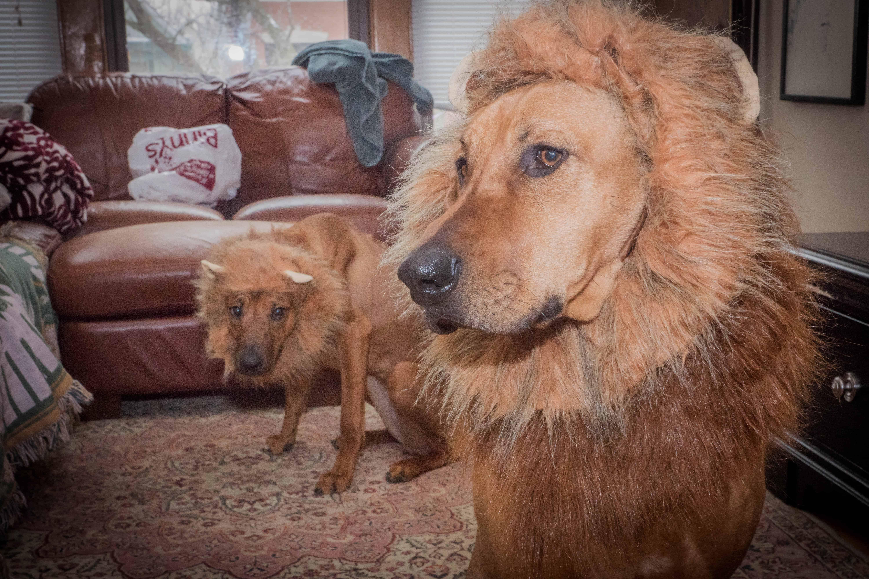 Rhodesian Ridgeback, lion, lion hound, lion dog, marking our territory