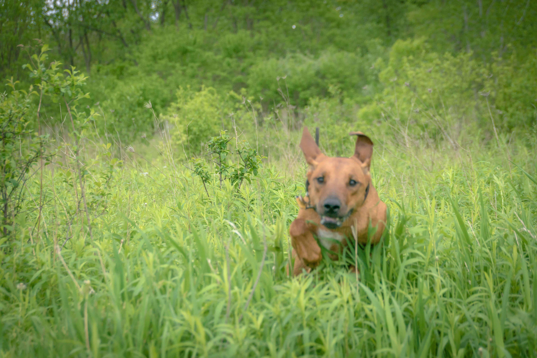 Rhodesian Ridgeback, puppy, cute, chicago, adventure