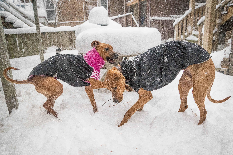 Rhodesian Ridgeback, puppy, chicago, adventure, snow
