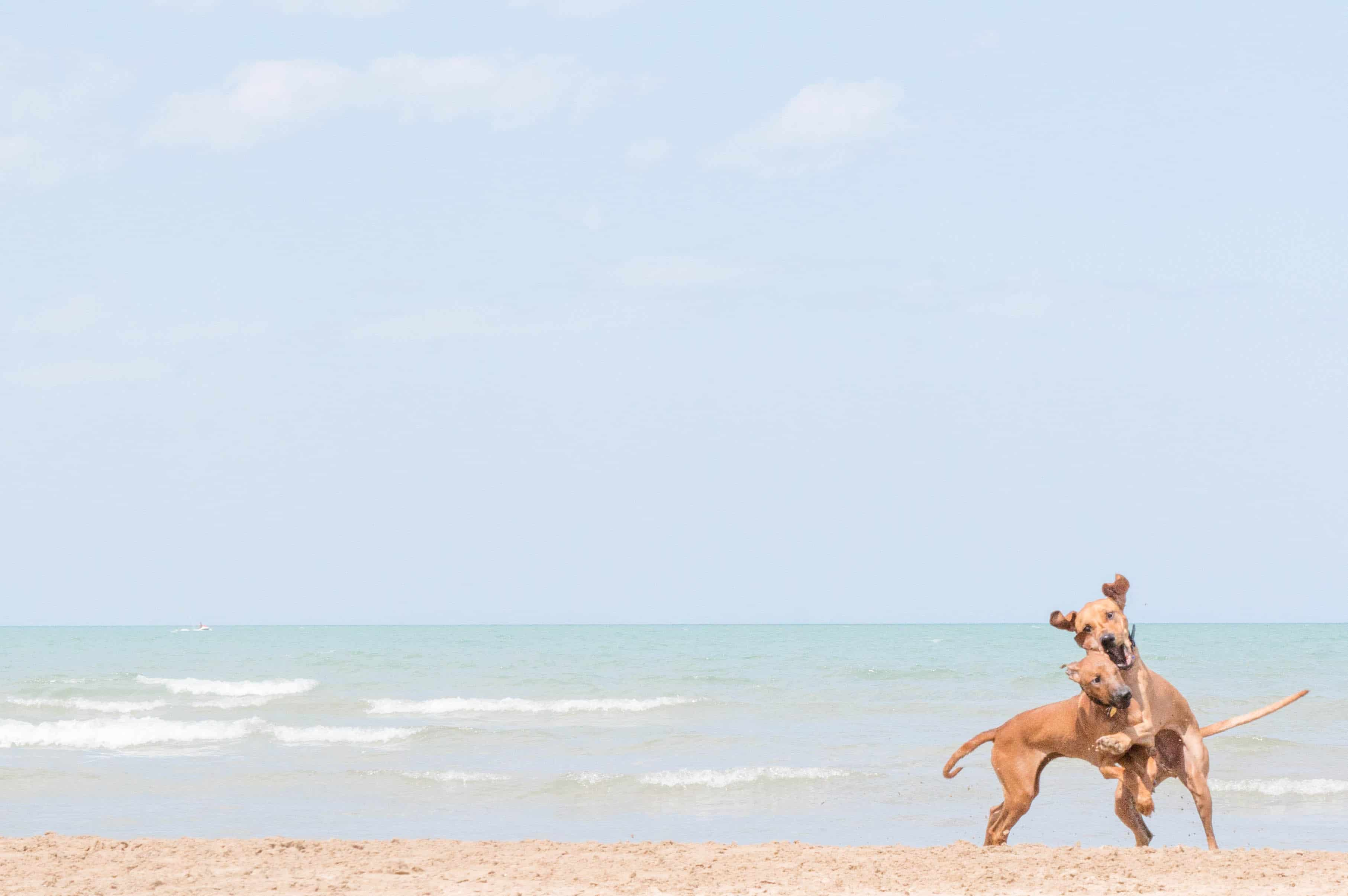 Rhodesian Ridgeback, beach, chicago, pet-friendly, marking our territory
