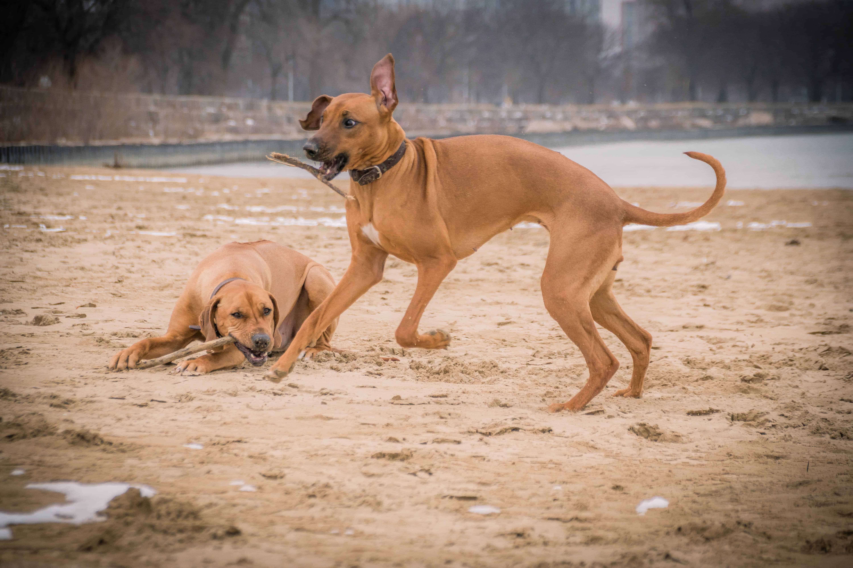 Rhodesian Ridgeback, puppy, chicago, adventure, beach