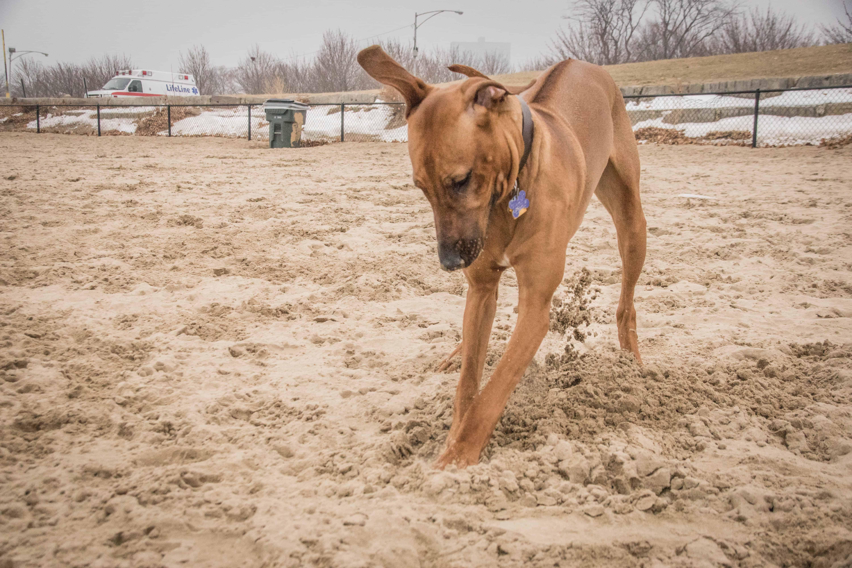 Montrose Dog Beach, Chicago, Rhodesian Ridgeback, puppy, marking our territory, dogs, pet-friendly