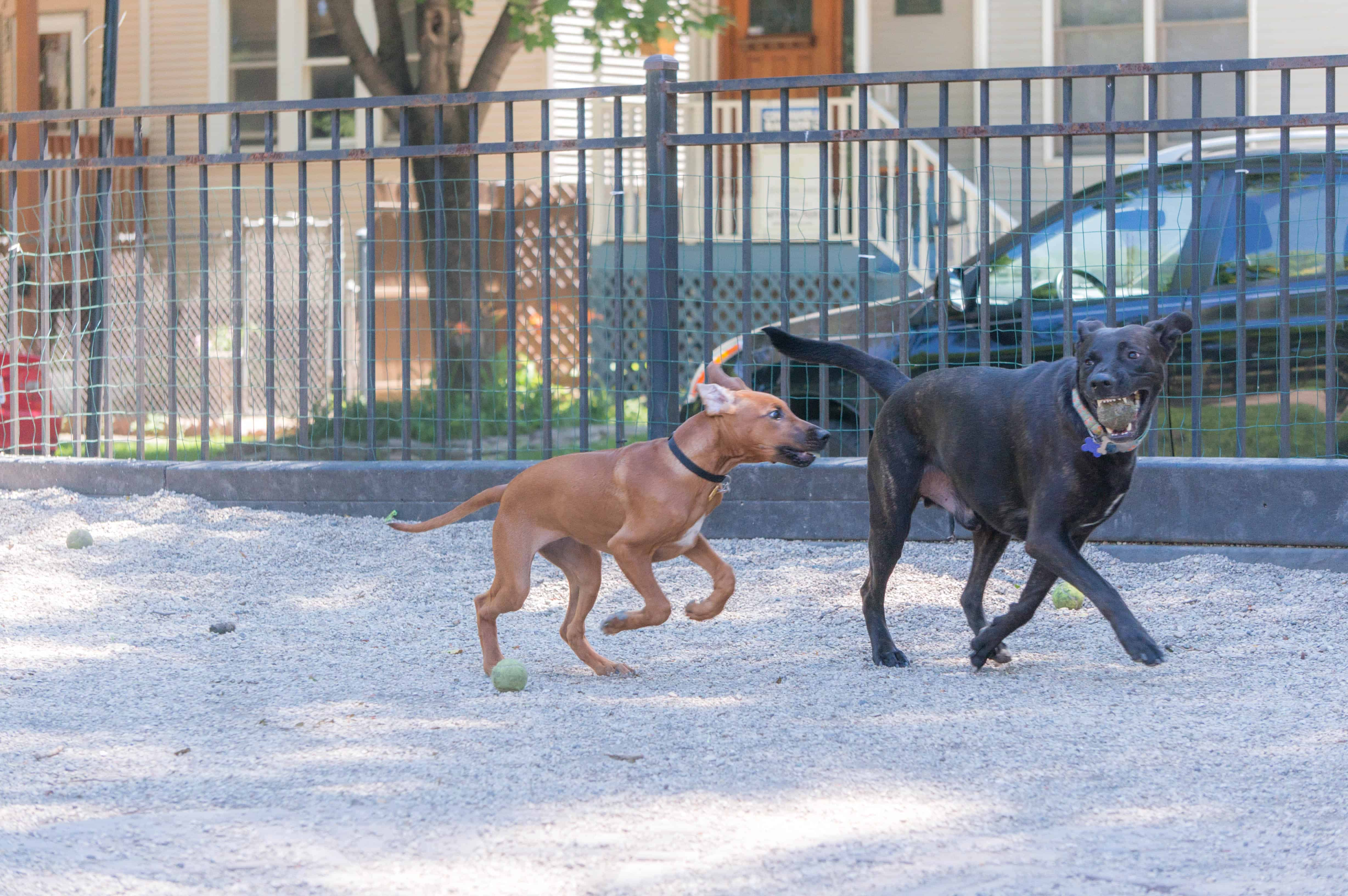 Rhodesian Ridgeback, puppy, chicago, marking our territory, pet-friendly