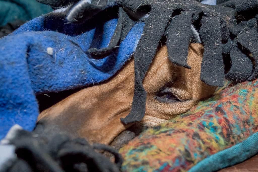 Rhodesian Ridgeback, blog, cute, adventure, chicago, puppy