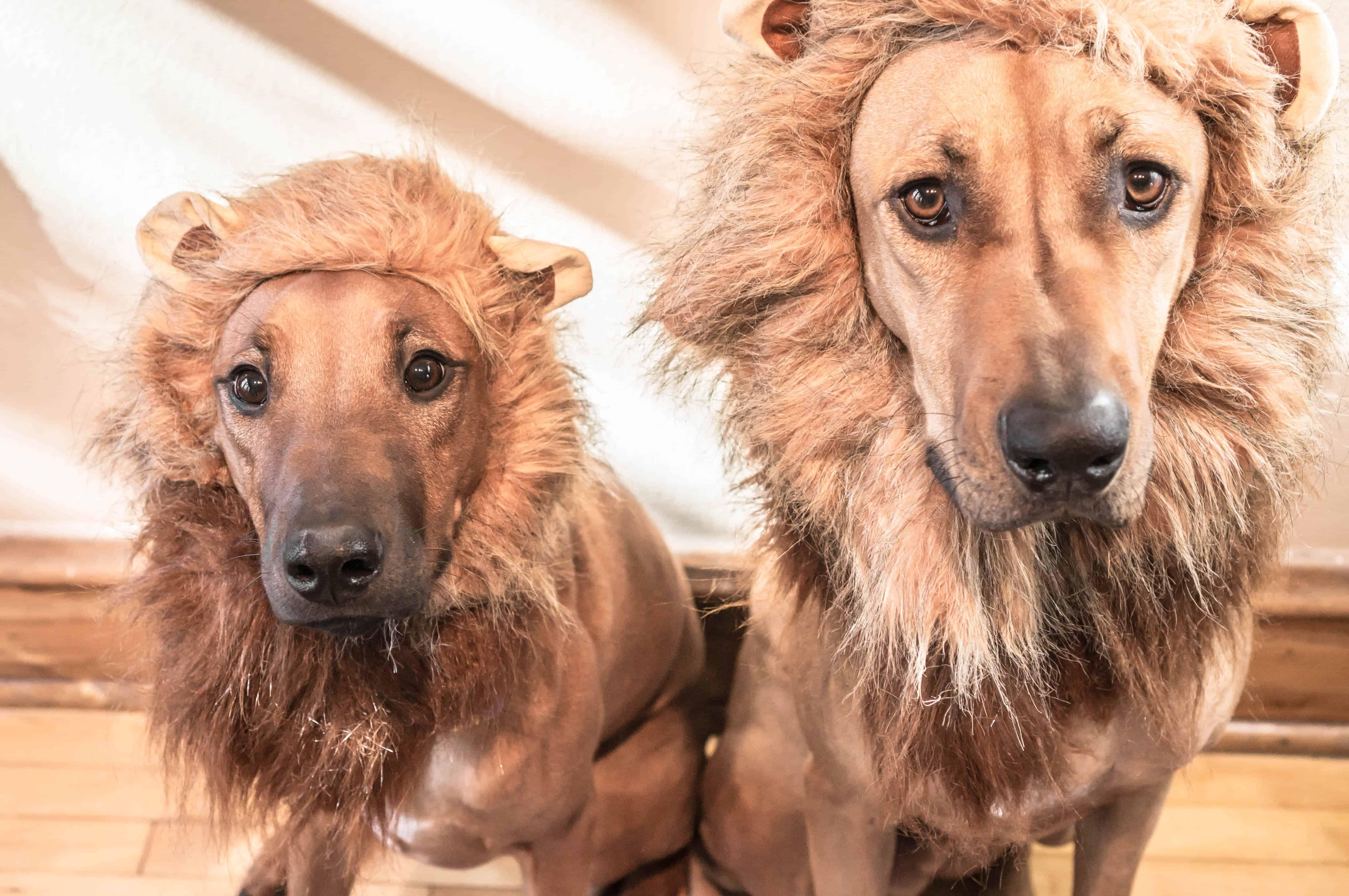 Rhodesian Ridgeback, lion, blog, month