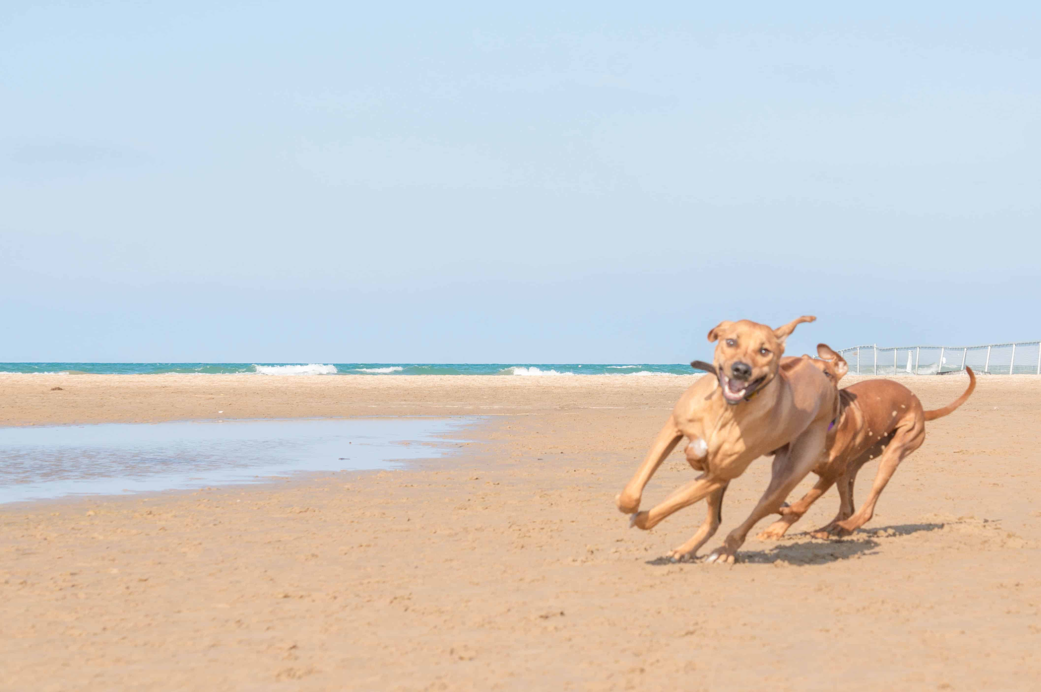 Rhodesian Ridgeback, puppy, chicago, adventure, dog beach, marking our territory