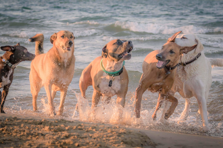 Montrose dog beach, chicago, rhodesian ridgeback, marking our territory, puppy