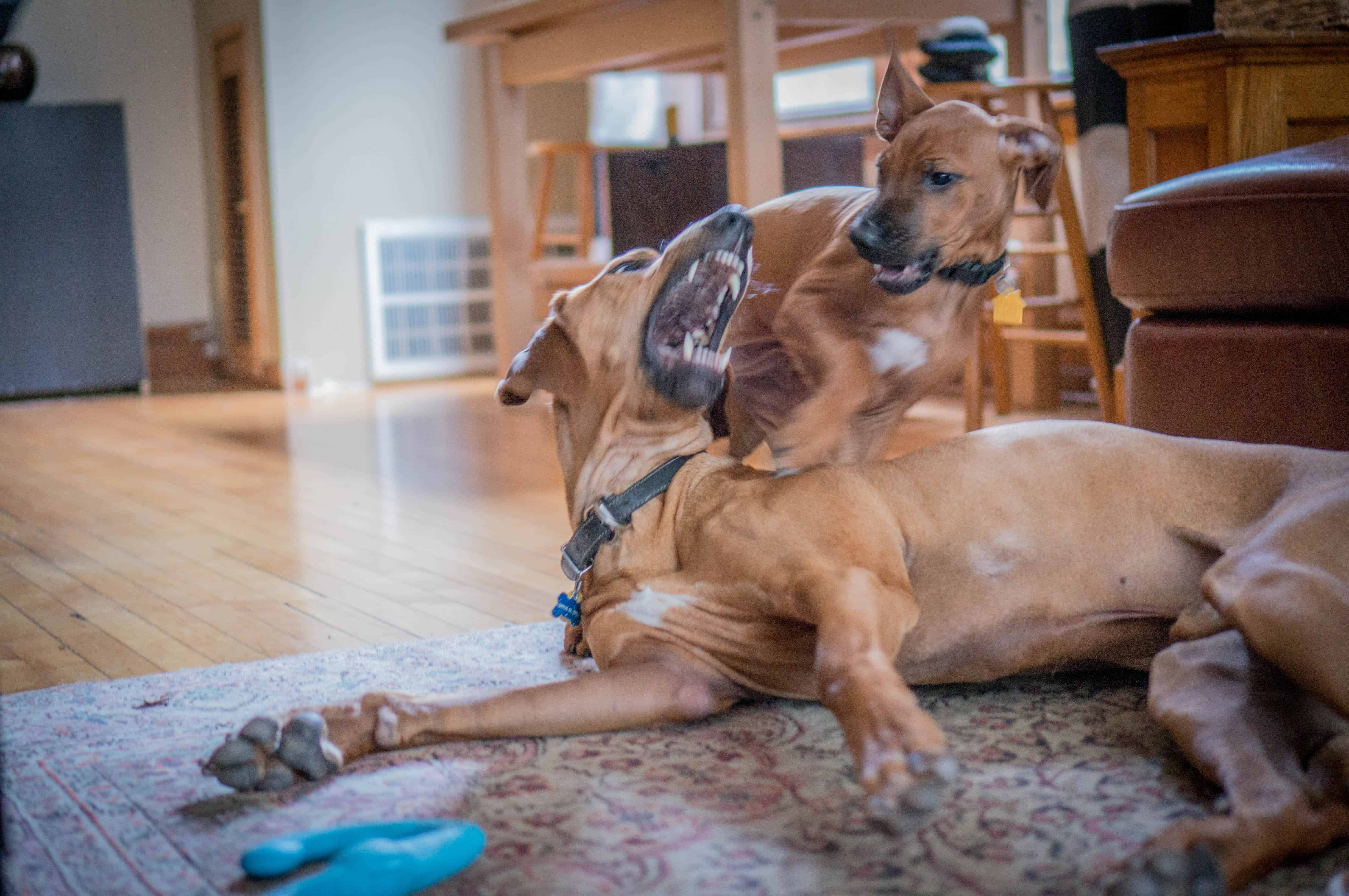 Rhodesian Ridgeback, puppy, marking our territory, dog blog, adventure, chicago