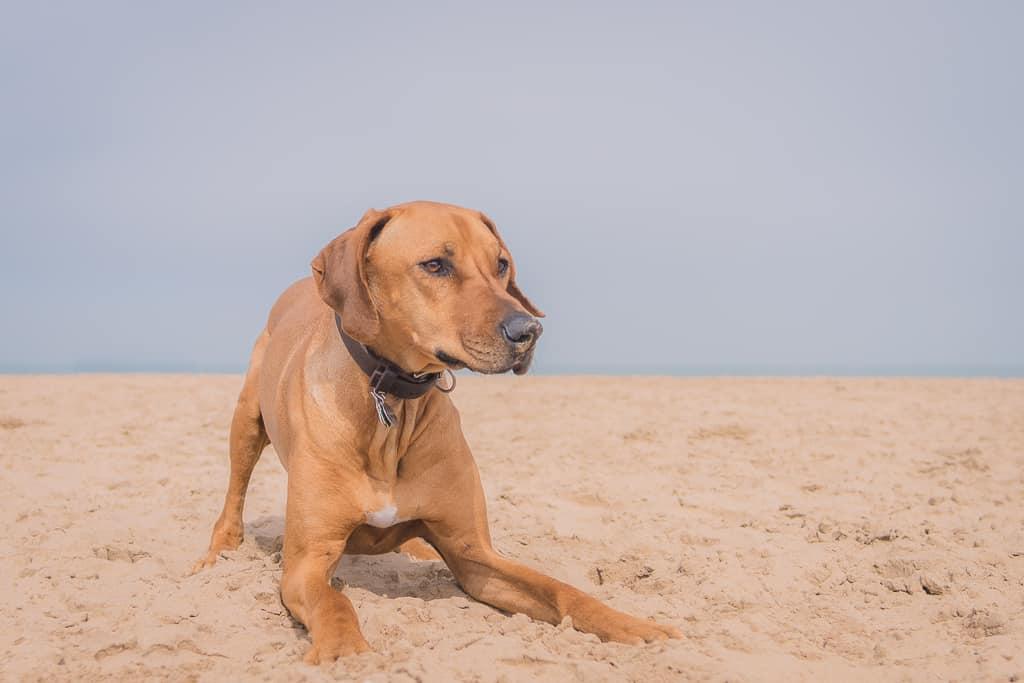 Rhodesian Ridgeback, montrose dog beach, blog, chicago, adventure