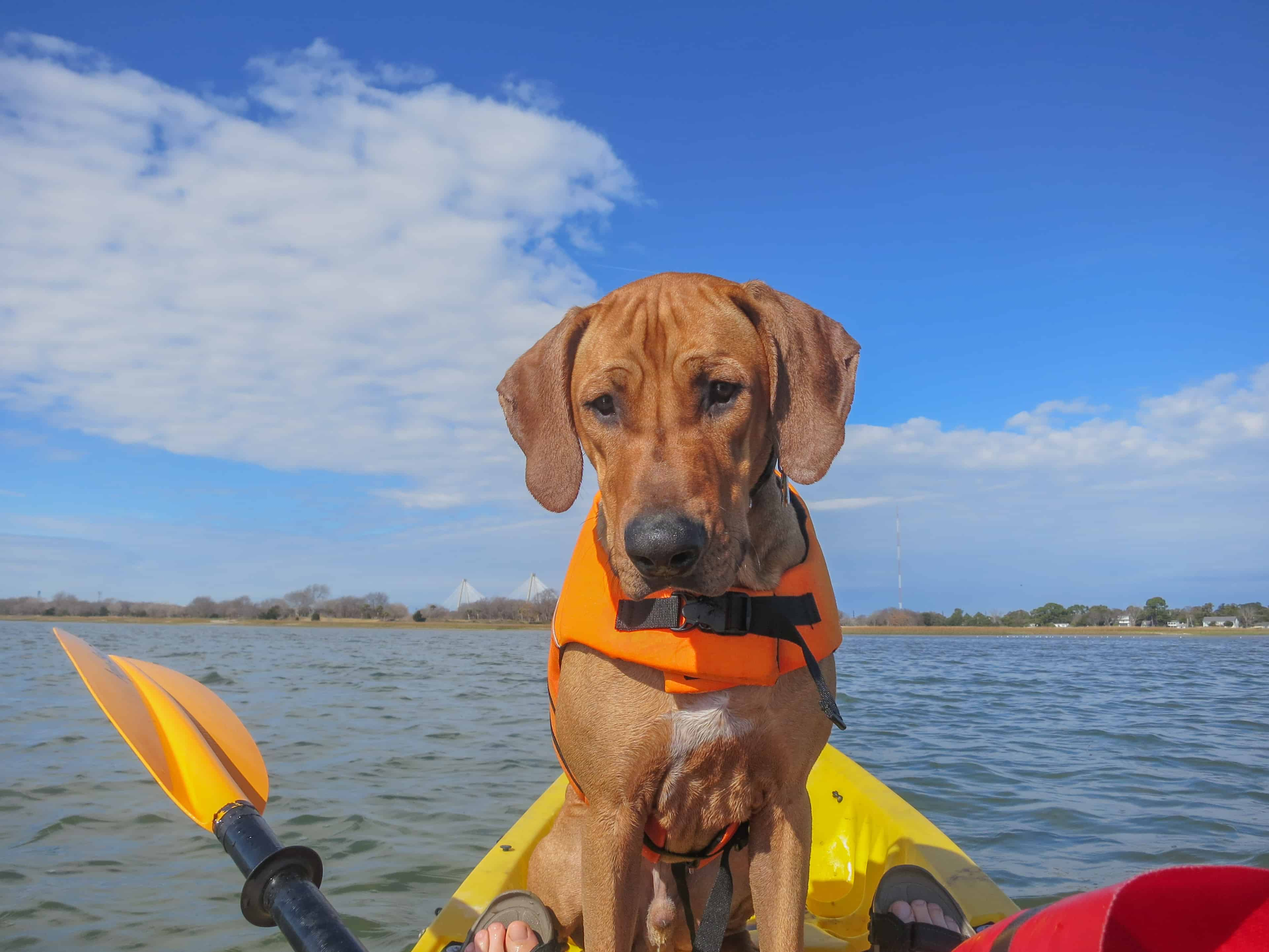 Rhodesian Ridgeback, adventure, dog-friendly, vacation, puppy