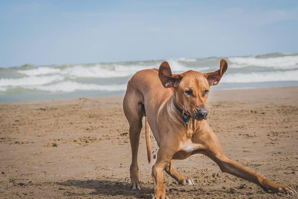 Rhodesian Ridgeback, blog, chicago, puppy, montrose dog beach