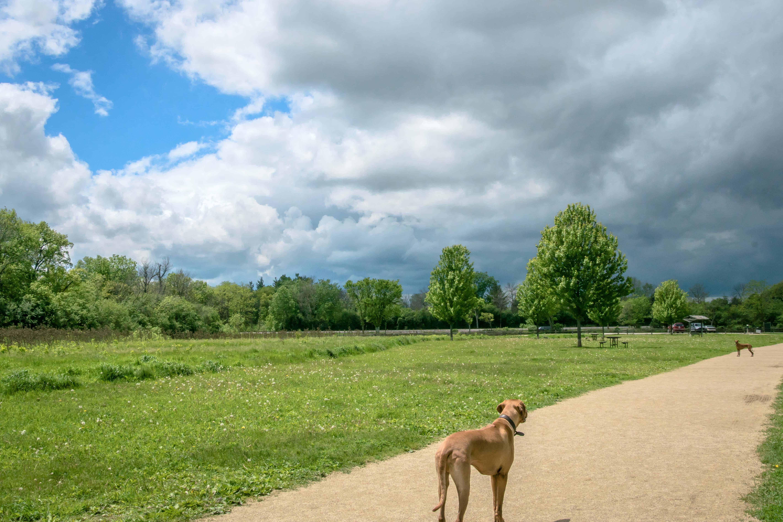 Rhodesian Ridgeback, puppy, chicago, adventure, cute, dog park, puppy