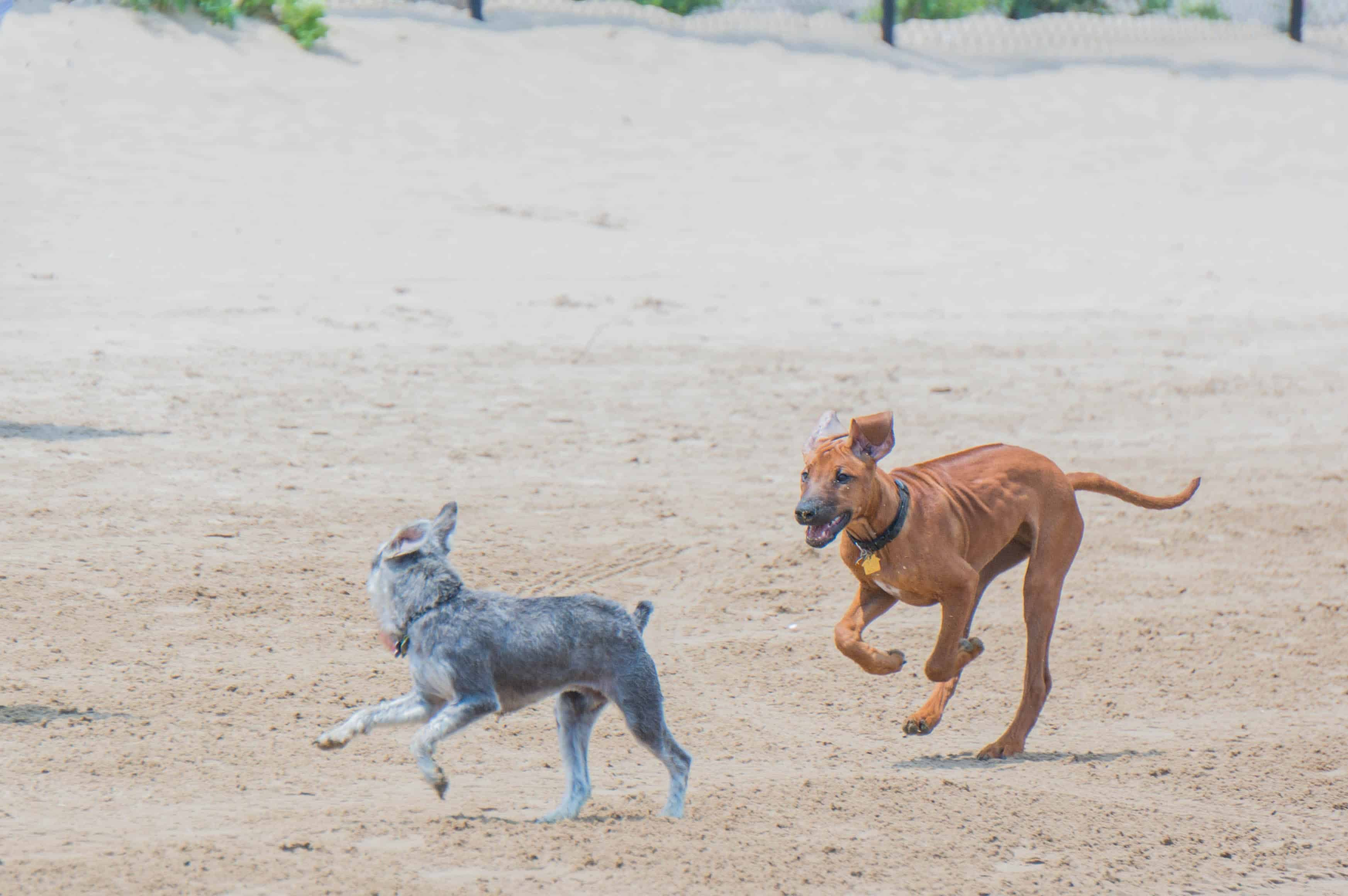 Rhodesian Ridgeback, puppy, dog beach, chicago, adventure, marking our territory
