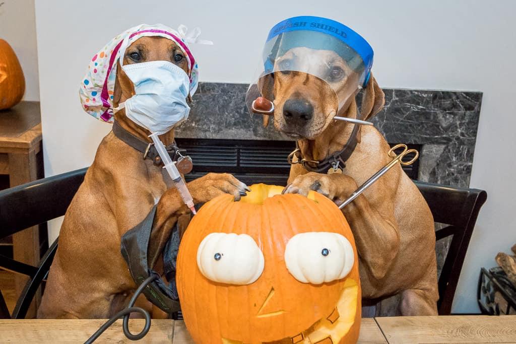 Pumpkin, surgery, rhodesian ridgeback, dog, funny, doctor