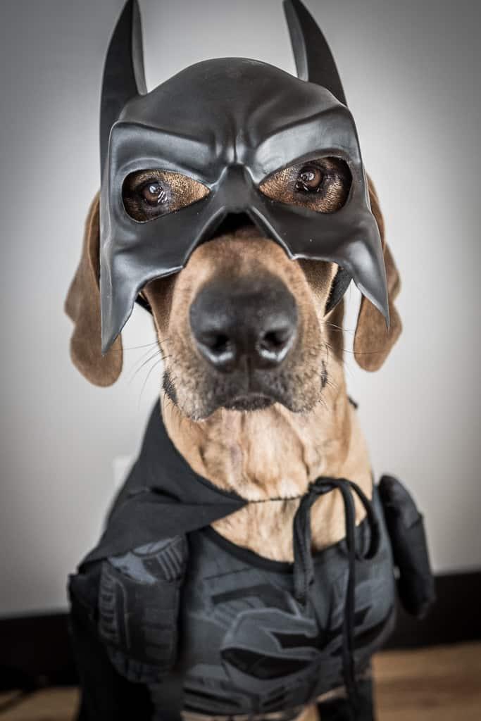 Joker, dog, costume, dark knight, batman, funny