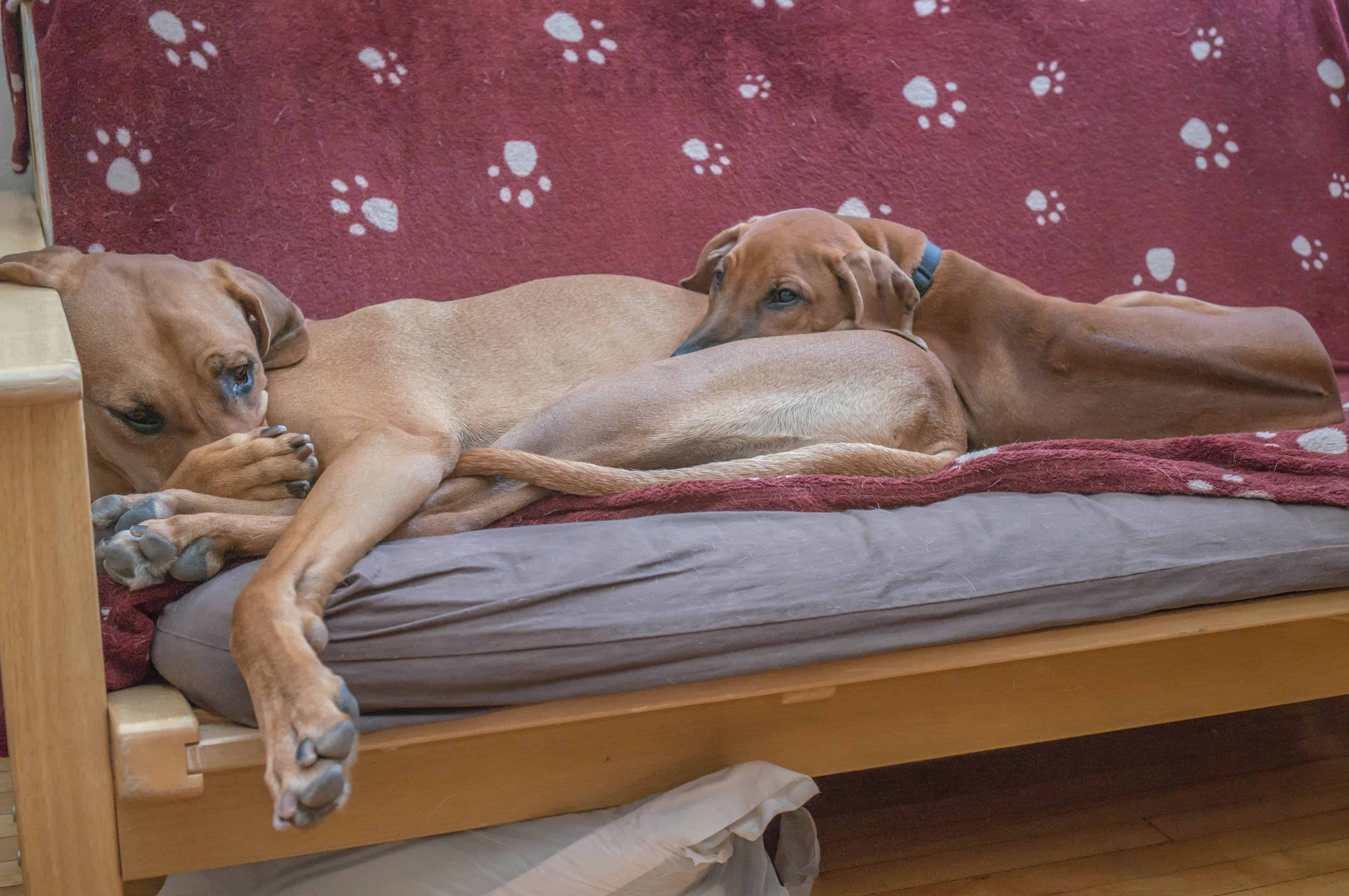 Rhodesian Ridgeback, puppy, photo, adventure, marking our territory, dog blog,