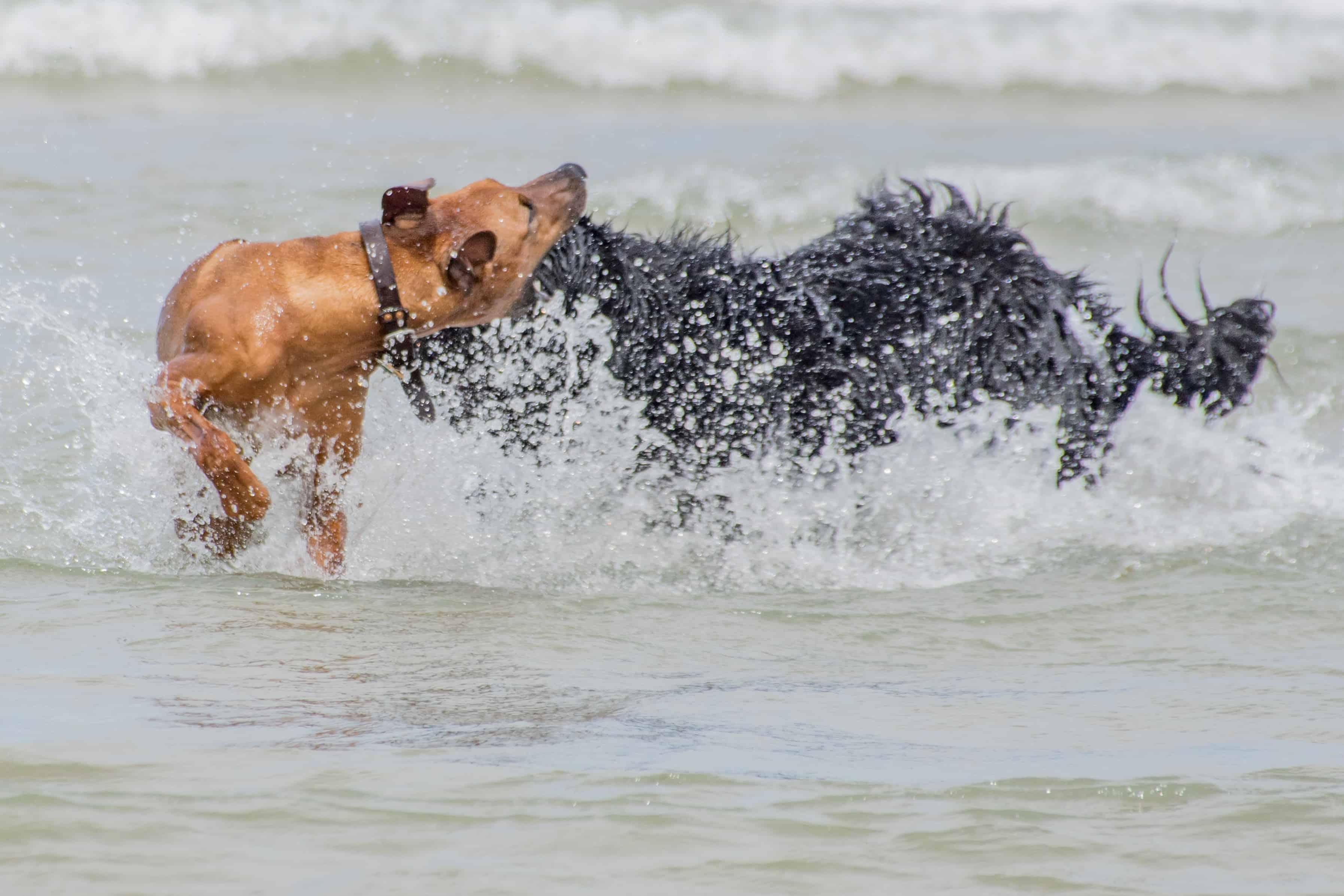Rhodesian Ridgeback, puppy, chicago, adventure, montrose dog beach, cute