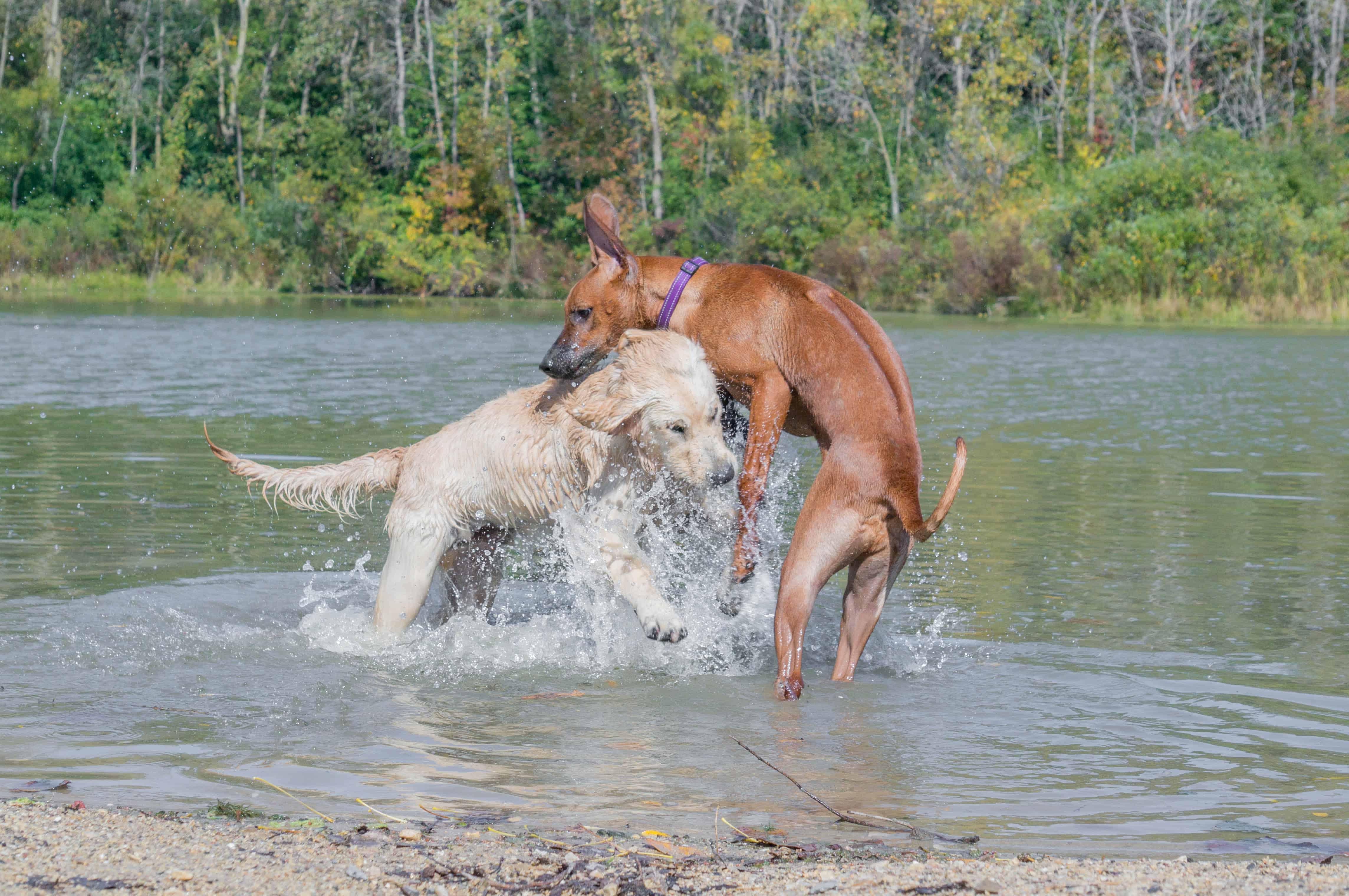Rhodesian Ridgeback, puppy, adventure, chicago, marking our territory, wolf prairie, blog