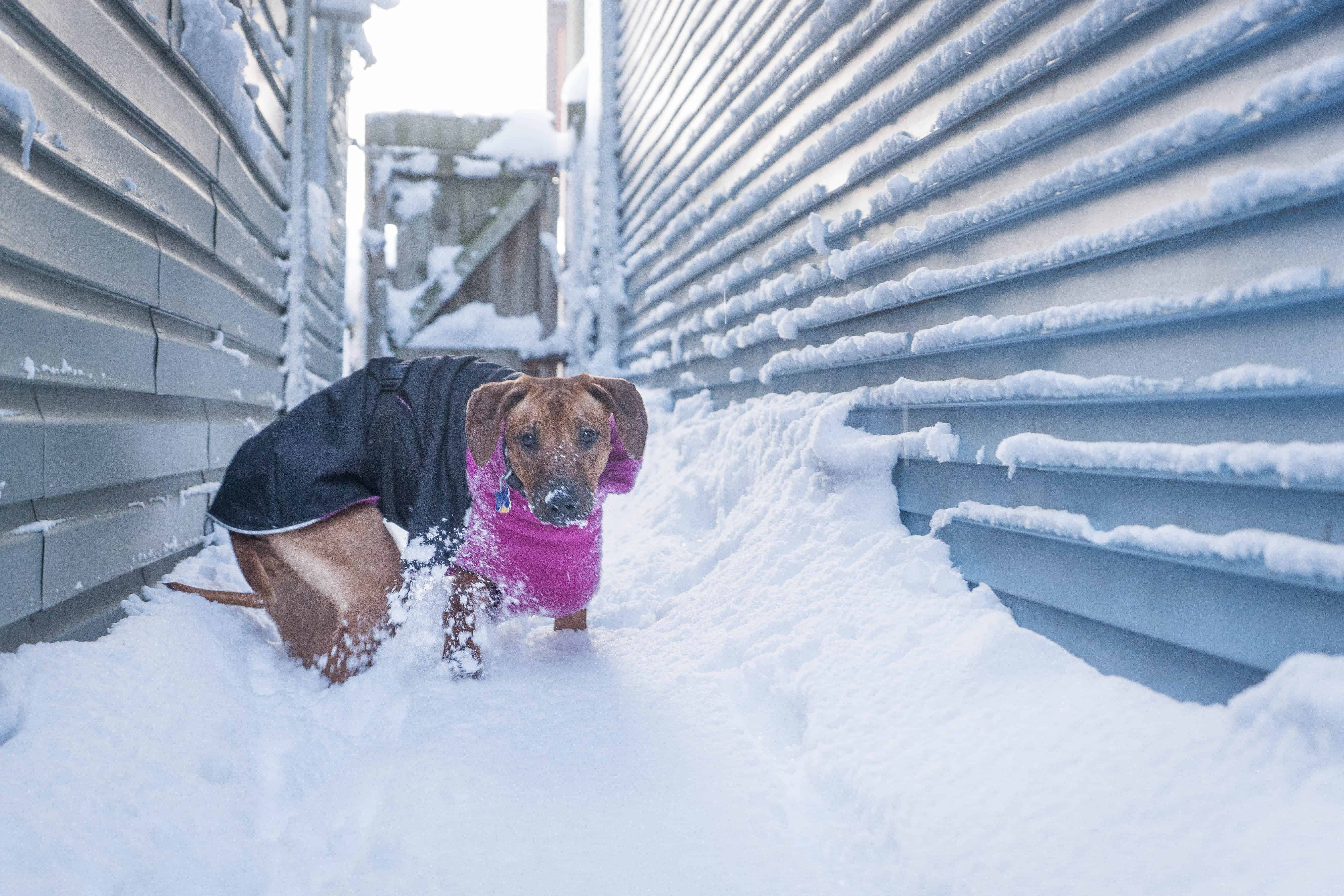 rhodesian ridgeback, puppy, chicago, marking our territory, adventure