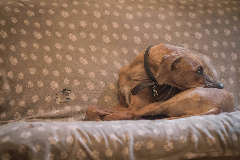 Rhodesian Ridgeback, puppy, cute, blanket, chicago