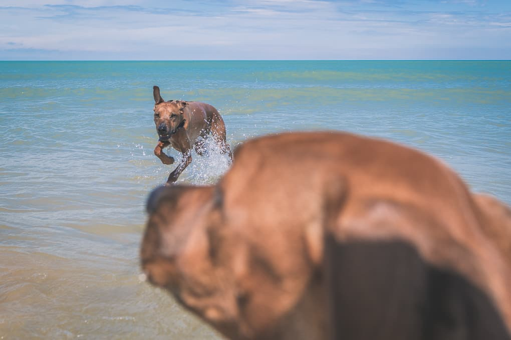Rhodesian Ridgeback, montrose dog beach, chicago, marking our territory, puppy
