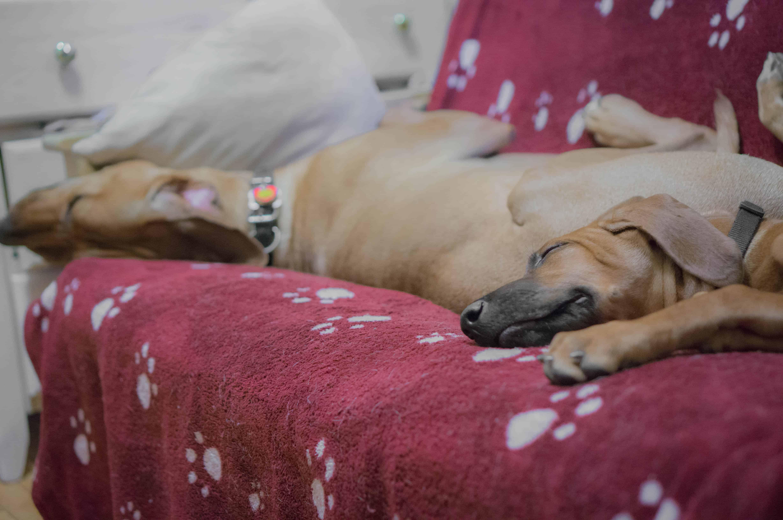 Rhodesian Ridgeback, puppy, marking our territory, blog, adventure, chicago