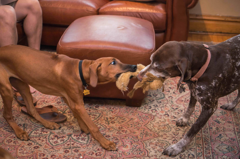 Rhodesian Ridgeback, puppy, dogs, marking our territory, blog