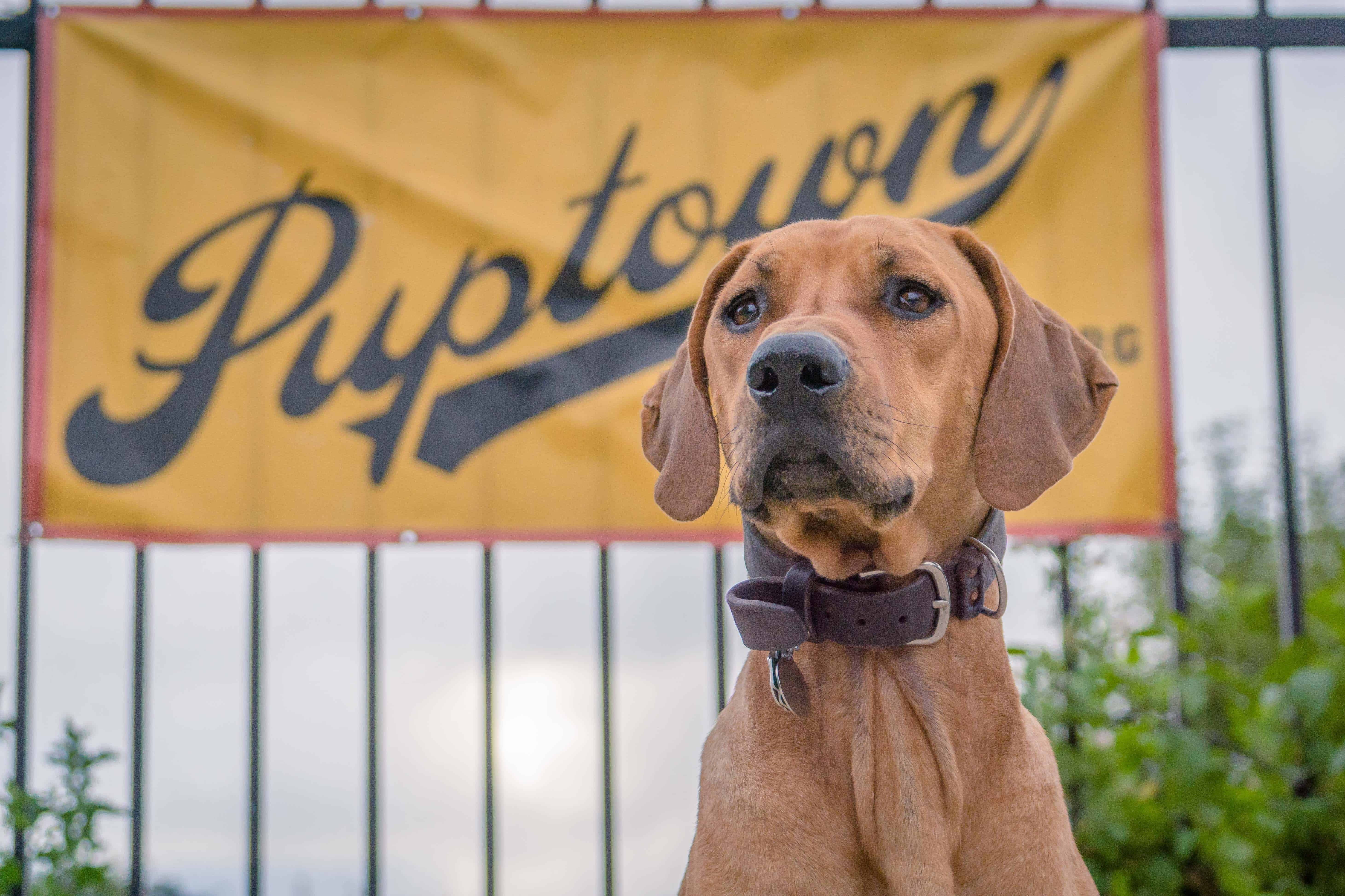 Rhodesian Ridgeback, puppy, chicago, blog, adventure, marking our territory